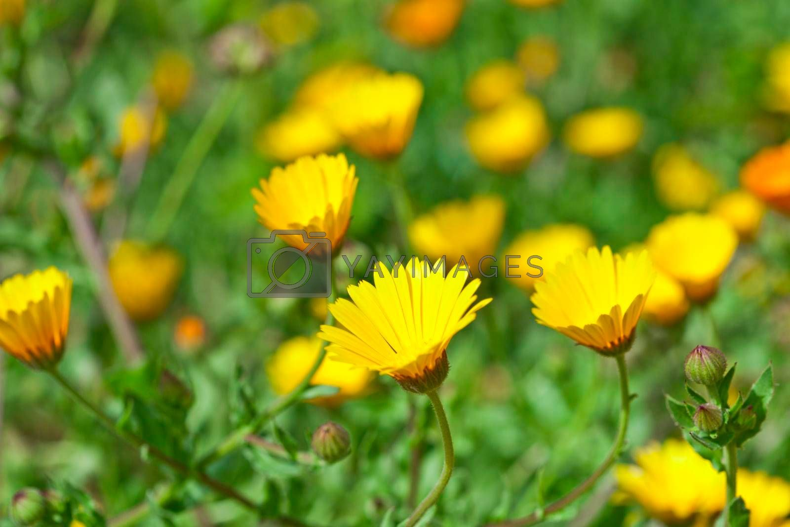 Green field with yellow spring flowers. Closeup of fresh meadow.