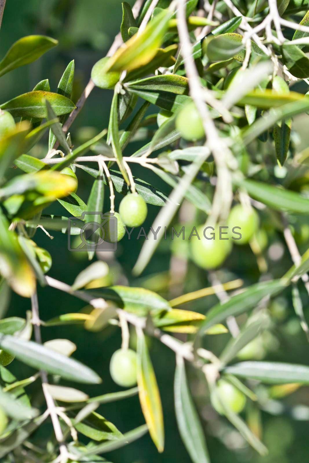 Olives on olive tree in autumn. Season and harvest nature image. Italy.