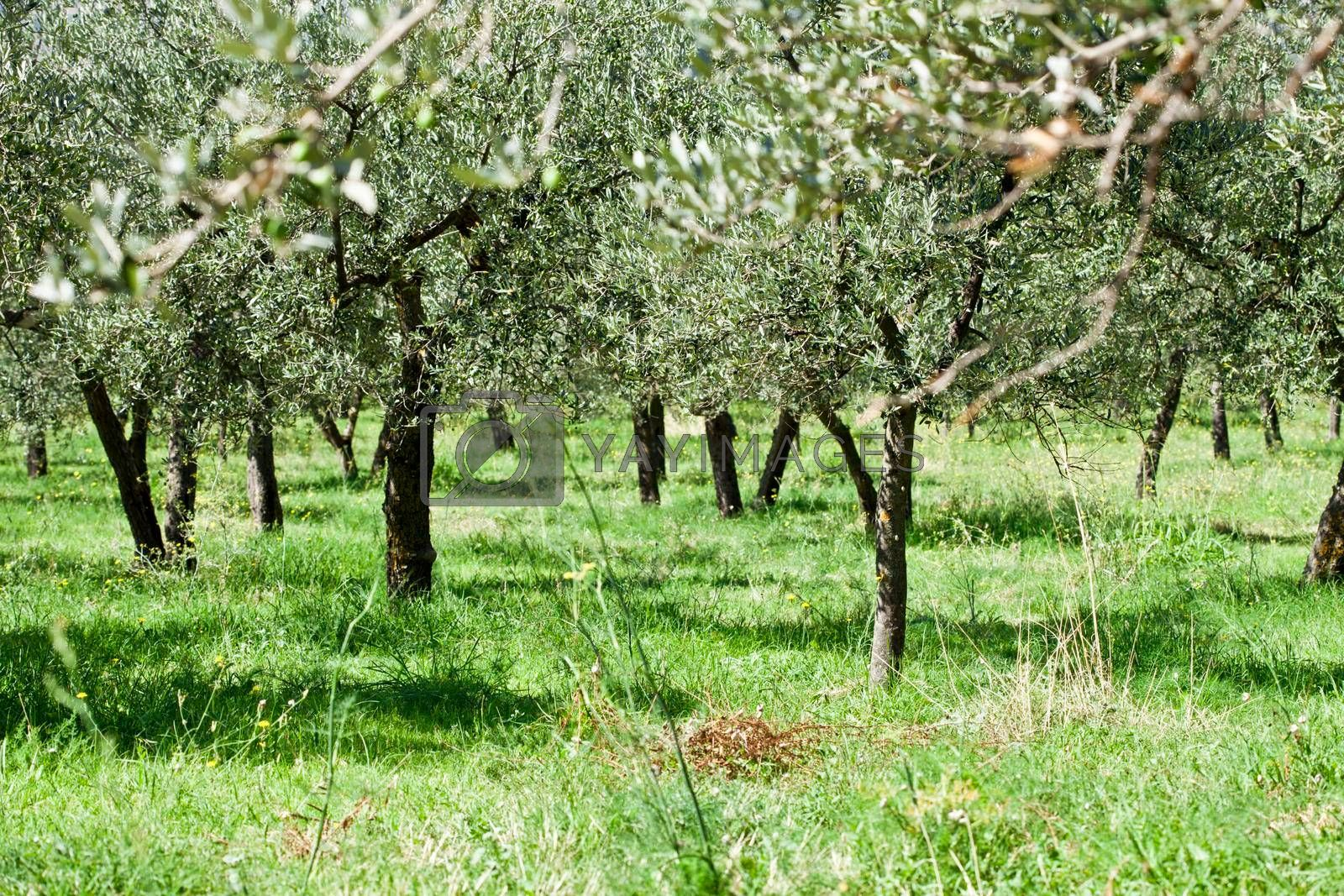 Olive trees plantation. Season and harvest nature image. Italy.