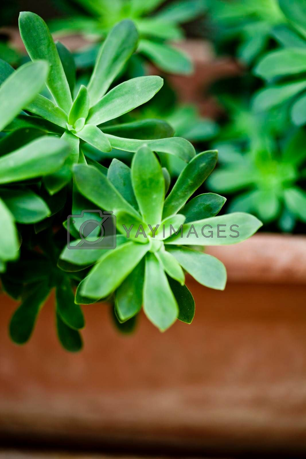 Green succulent plant closeup on ceramic pot with copy space.