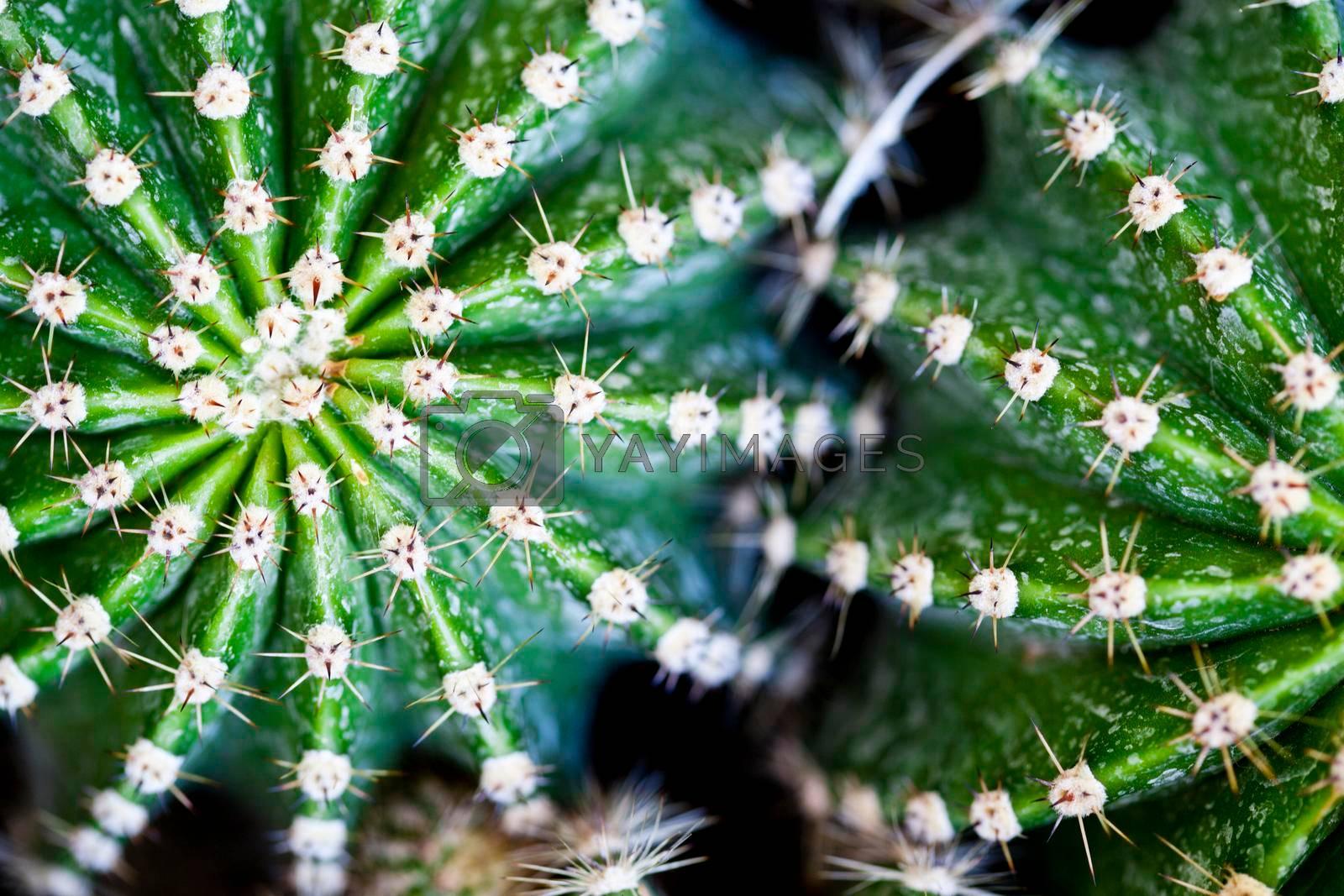 Cactus macro image, selective focus. Green succulets closeup.
