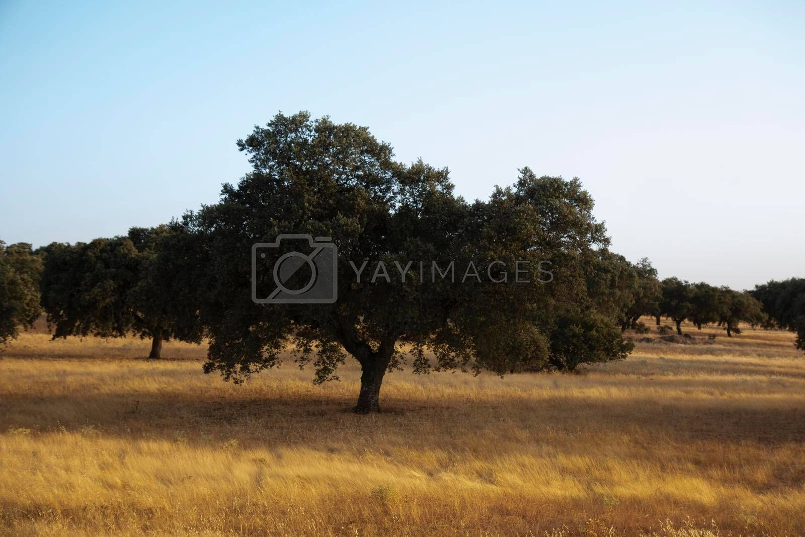 tree acorns to sustain the Iberian pig in southern Andalusia