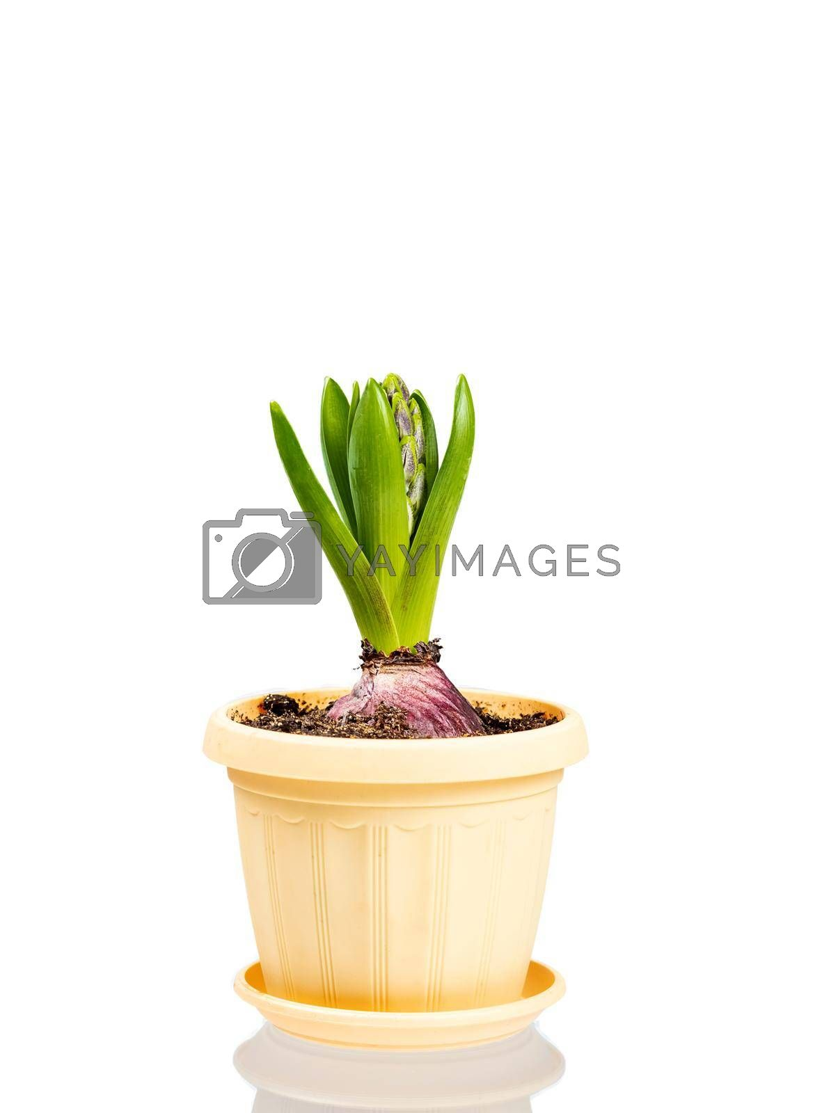 Unblown hyacinth with green leaves and closed buds in a flower pot isolated on white background