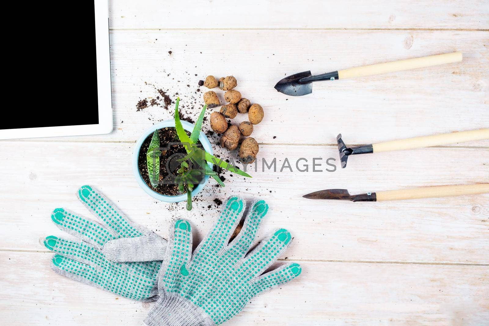 A green plant for replanting, a flower pot, expanded clay, gardening tools and gloves are laid out on a wooden table. the concept of online learning home gardening.