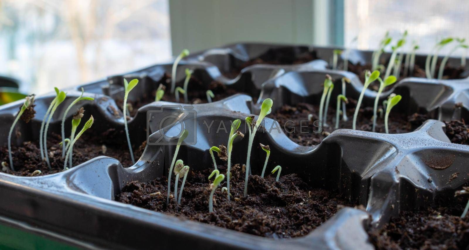 Photo of sprouting seedlings ready for the greenhouse. Spring background. Seedlings in the spring on the window. Seedlings in a plastic tray.