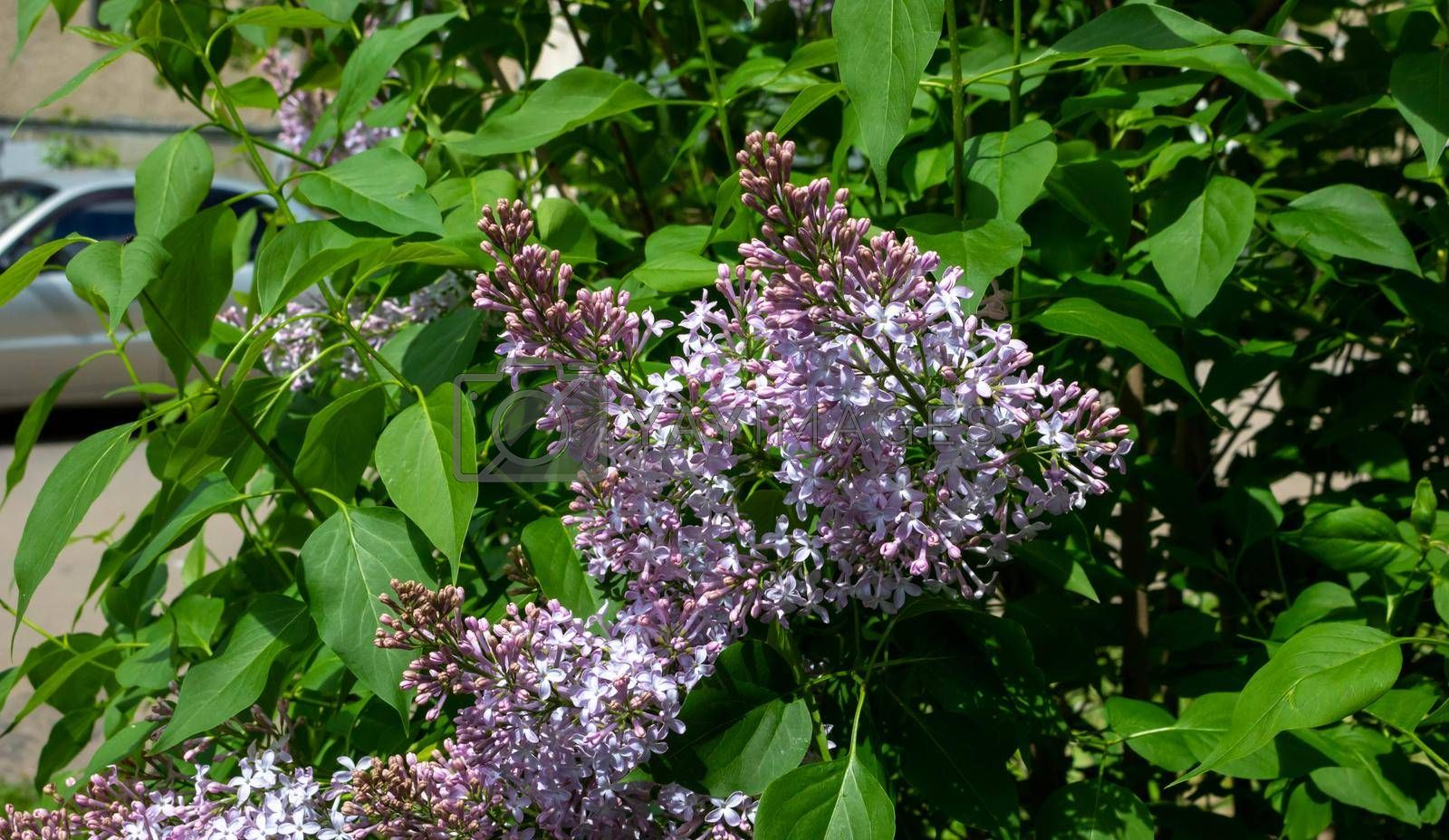 Lilac blossom flowers spring view. Spring lilac flowers. Lilac blooms. A beautiful bunch of lilac by lapushka62