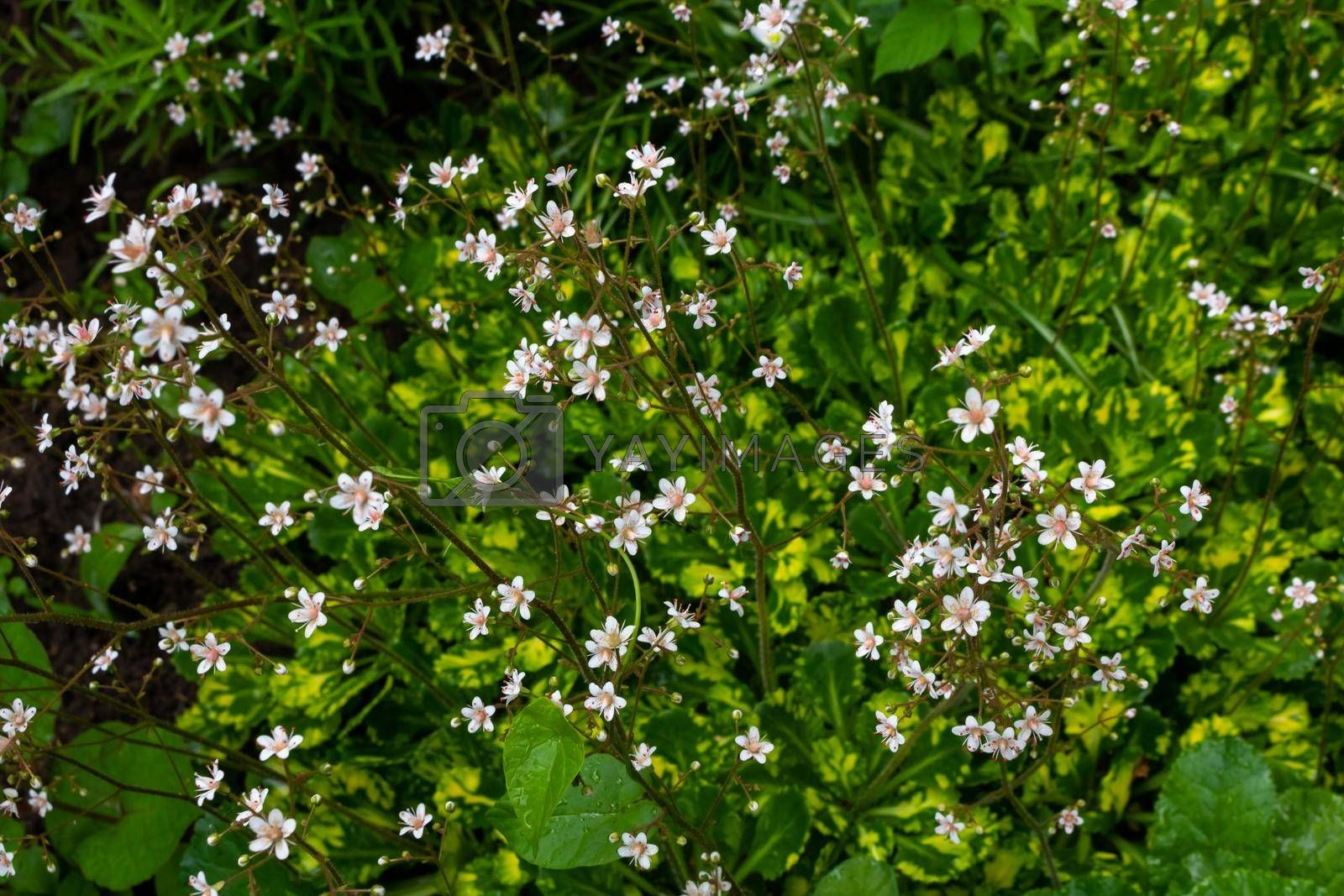 Small white flowers in field on green grass background. Soft focus by lapushka62