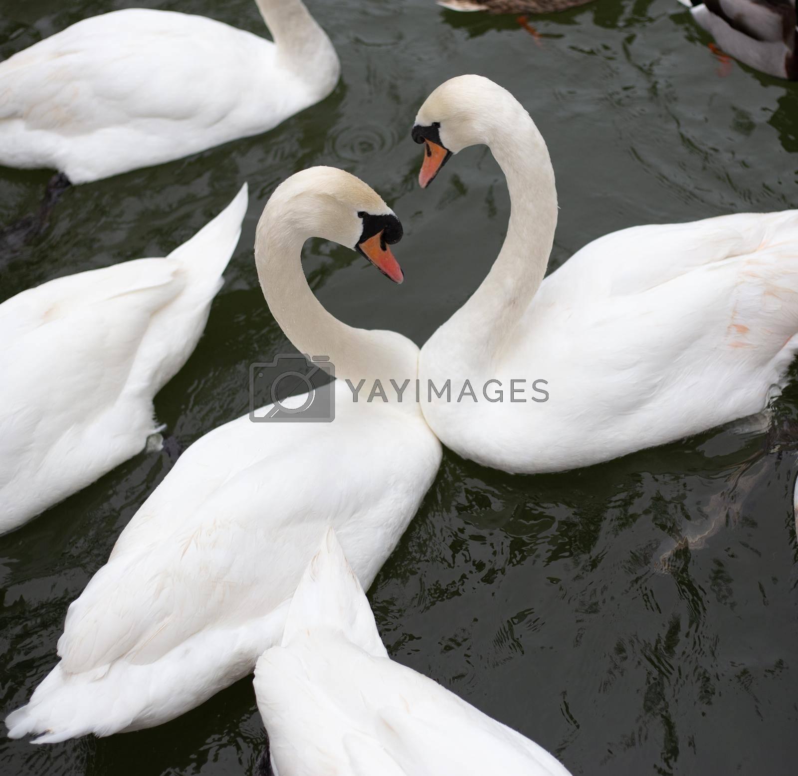 White swans in water by NelliPolk
