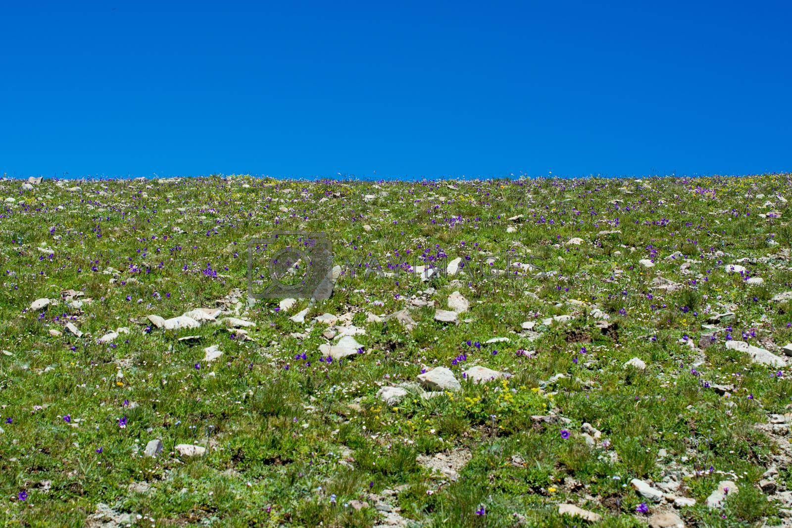 Wild grass on highland meadow in the summer time in Artvin in Turkey