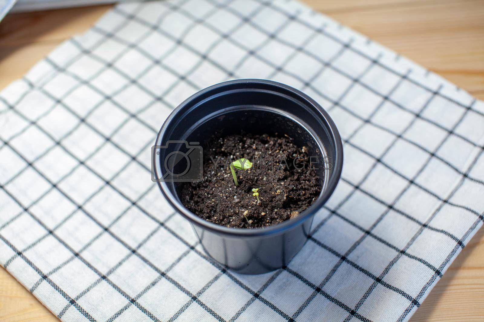 Planting young seedlings in a black pot on a beautiful napkin on the table. A young sprout of a cucumber plant.
