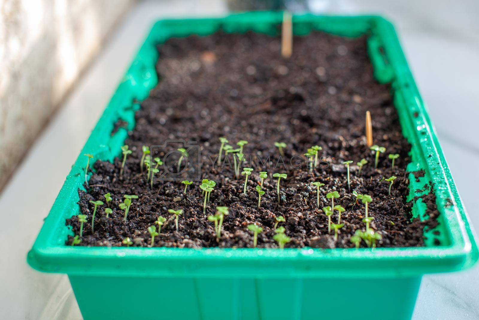 Planting young seedlings in a large pot on the table, at home. A young sprout of delicious greens for salad.