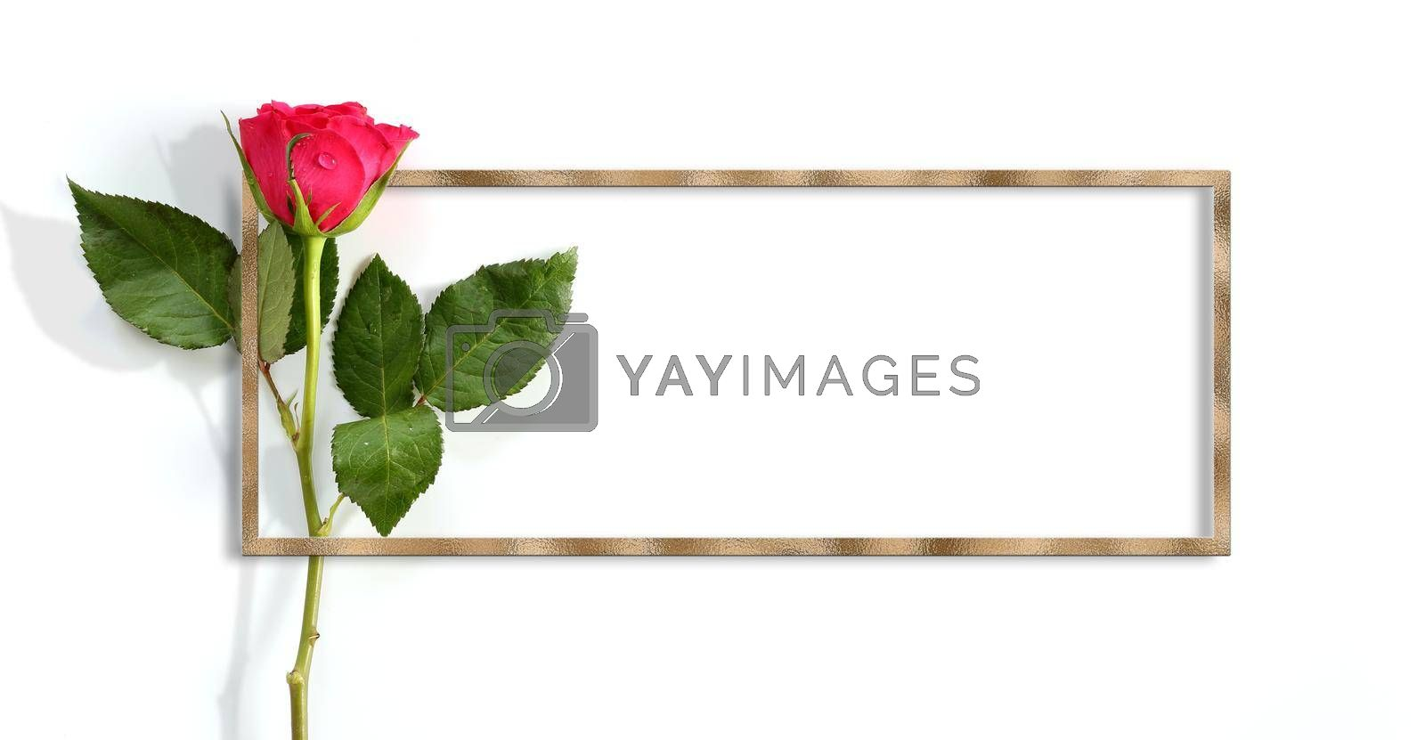 Single rose on white background. Beautiful red rose in golden frame. Place for text. Mock up