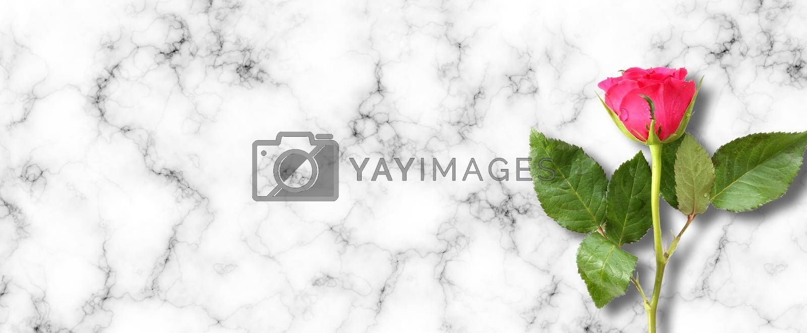 Single close up red rose on abstract marble background. Beautiful one flower over white grey background