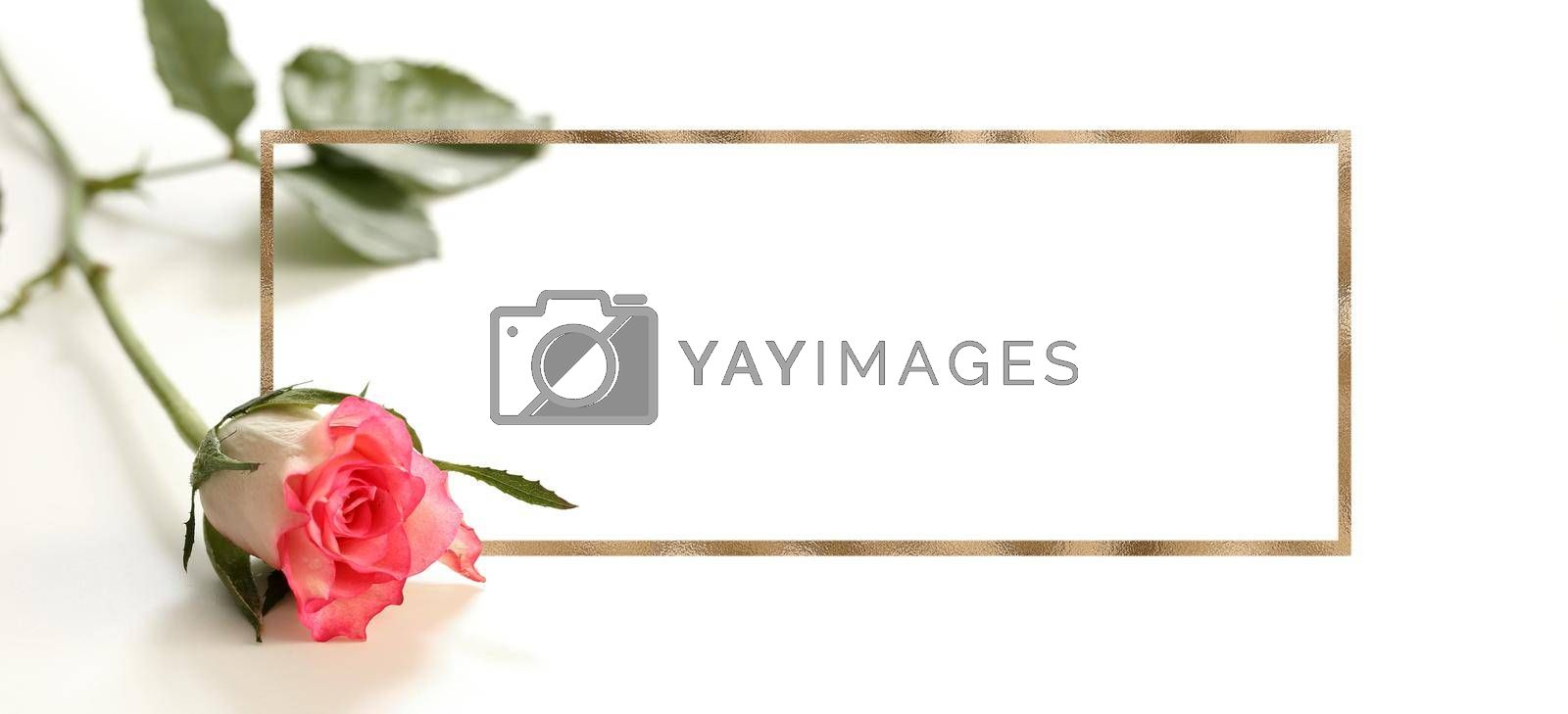 Closeup red pink rose flower on white background. Golden frame as mock up