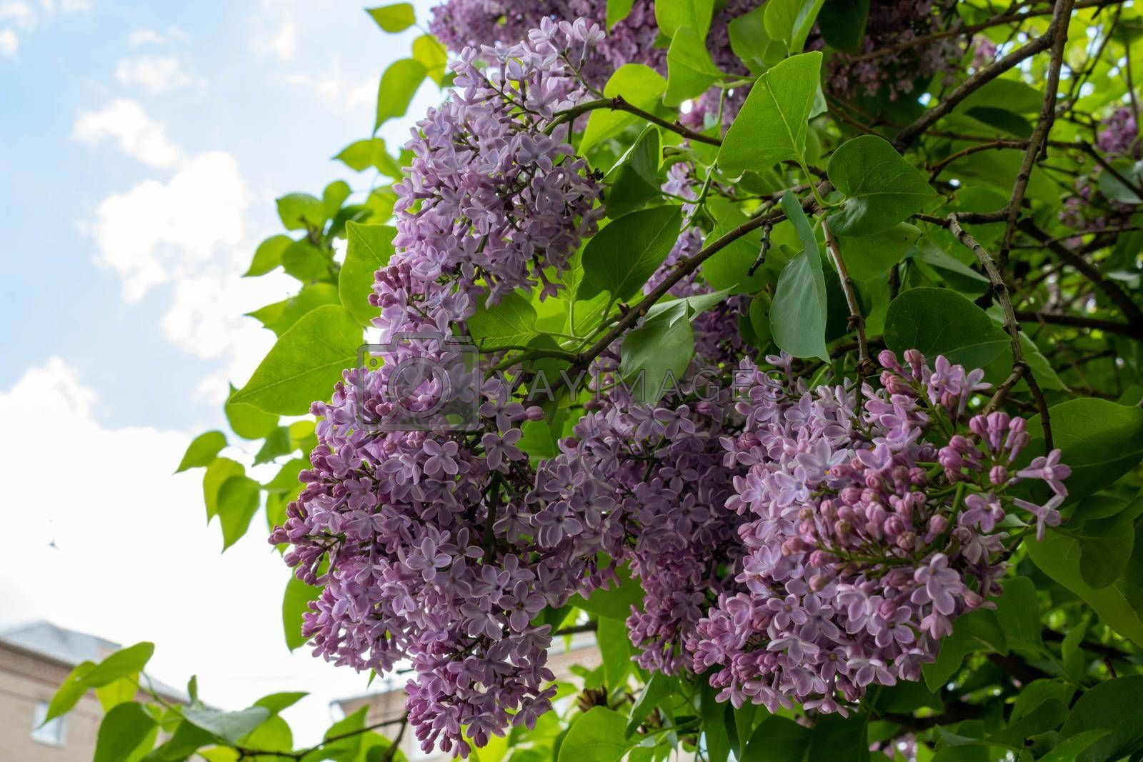 Blooming lilac against the sky. Beautiful purple lilac flowers outdoors. Lilac flowers on the branches. by lapushka62