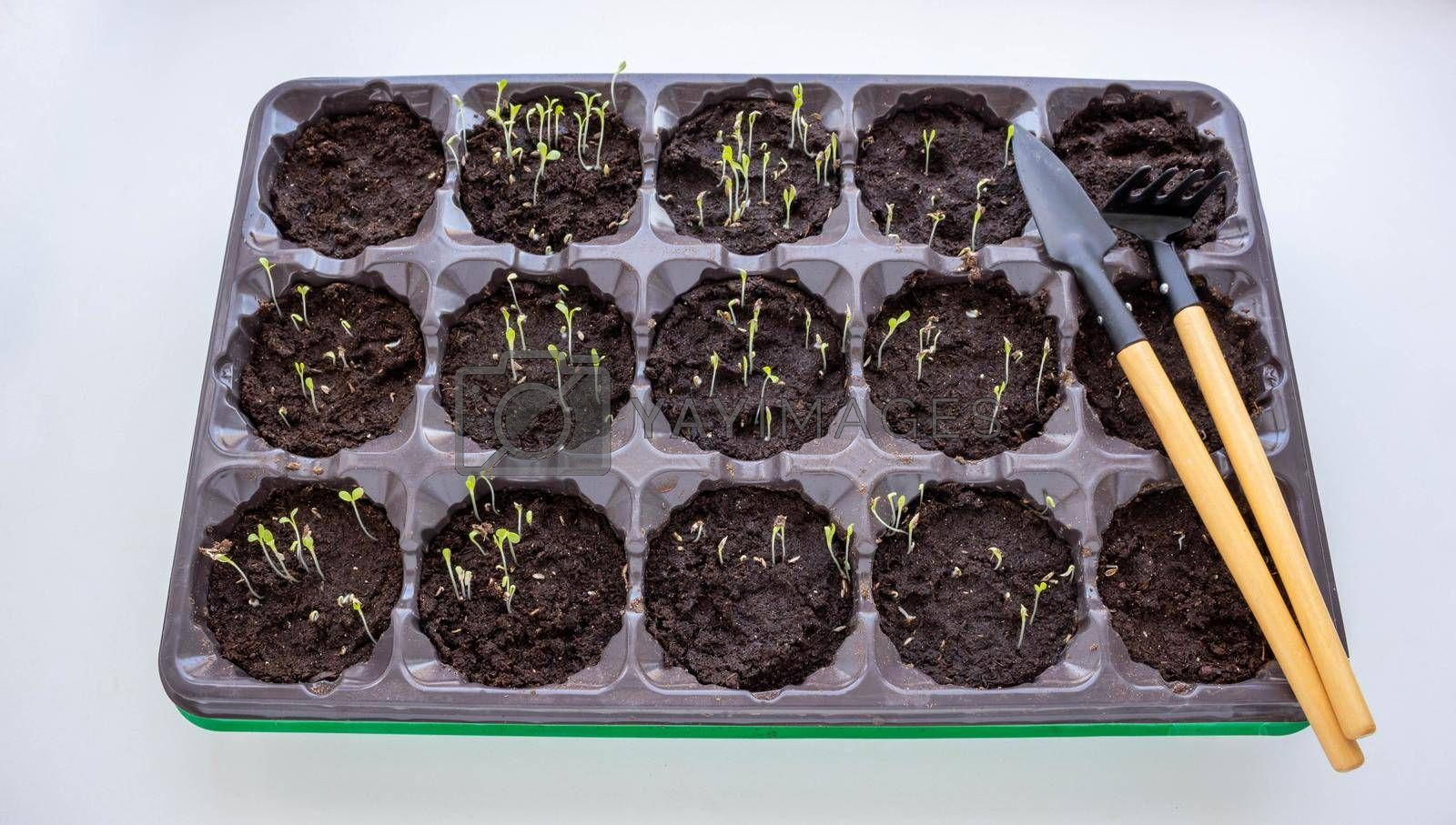 Photo of sprouting seedlings ready for the greenhouse. Spring background. Seedlings in the spring on the window. Seedlings in a plastic tray by lapushka62