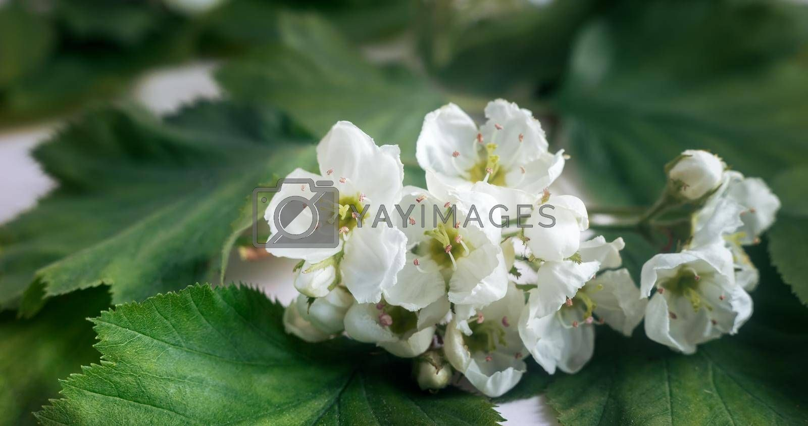 Flowers of common hawthorn with tiny white flowers in spring on the background of foliage. Hawthorn fruit is a medicinal product
