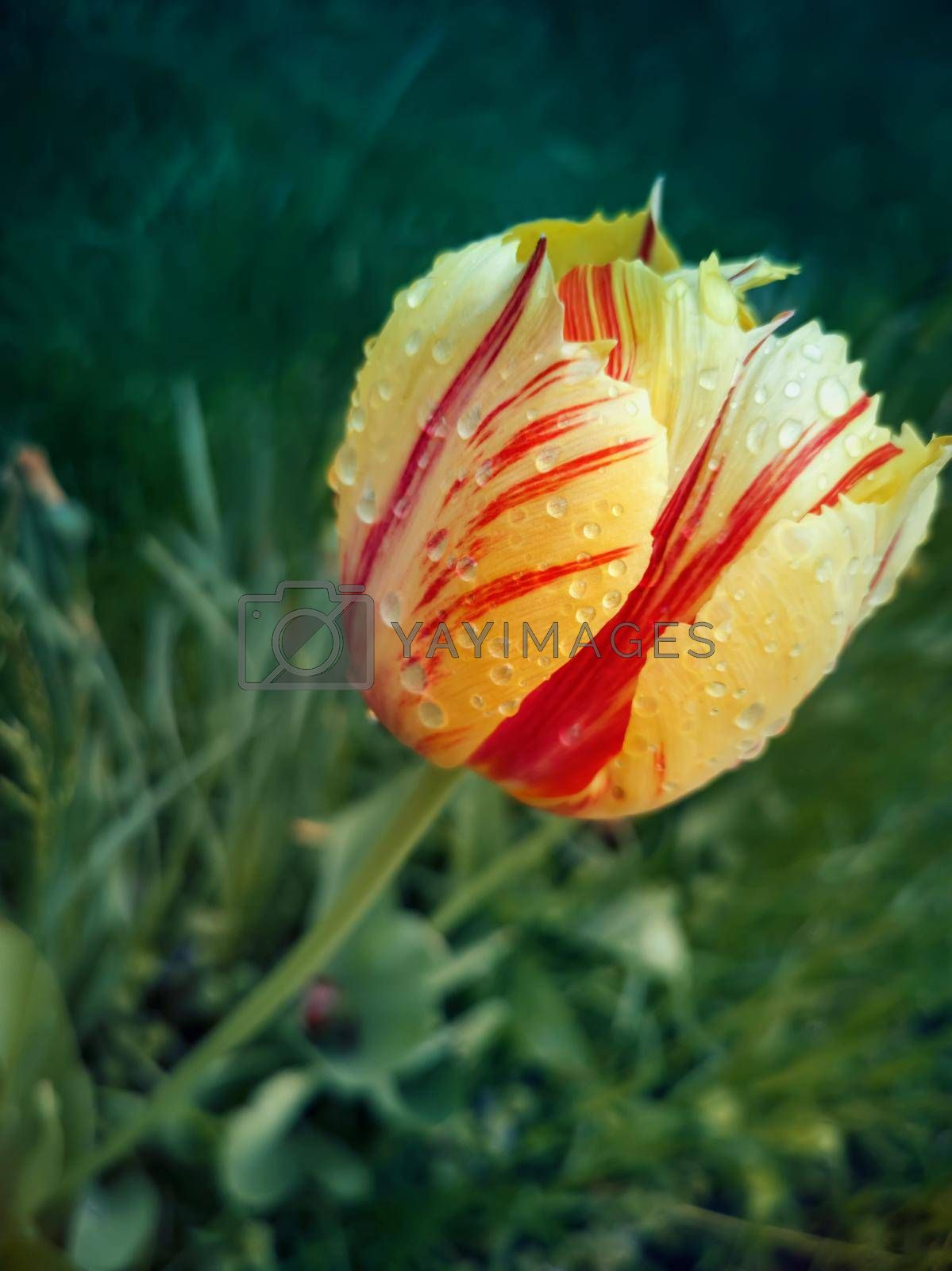 Beautiful yellow-red Tulip among green leaves on a flower bed in the garden. Presented in close-up.