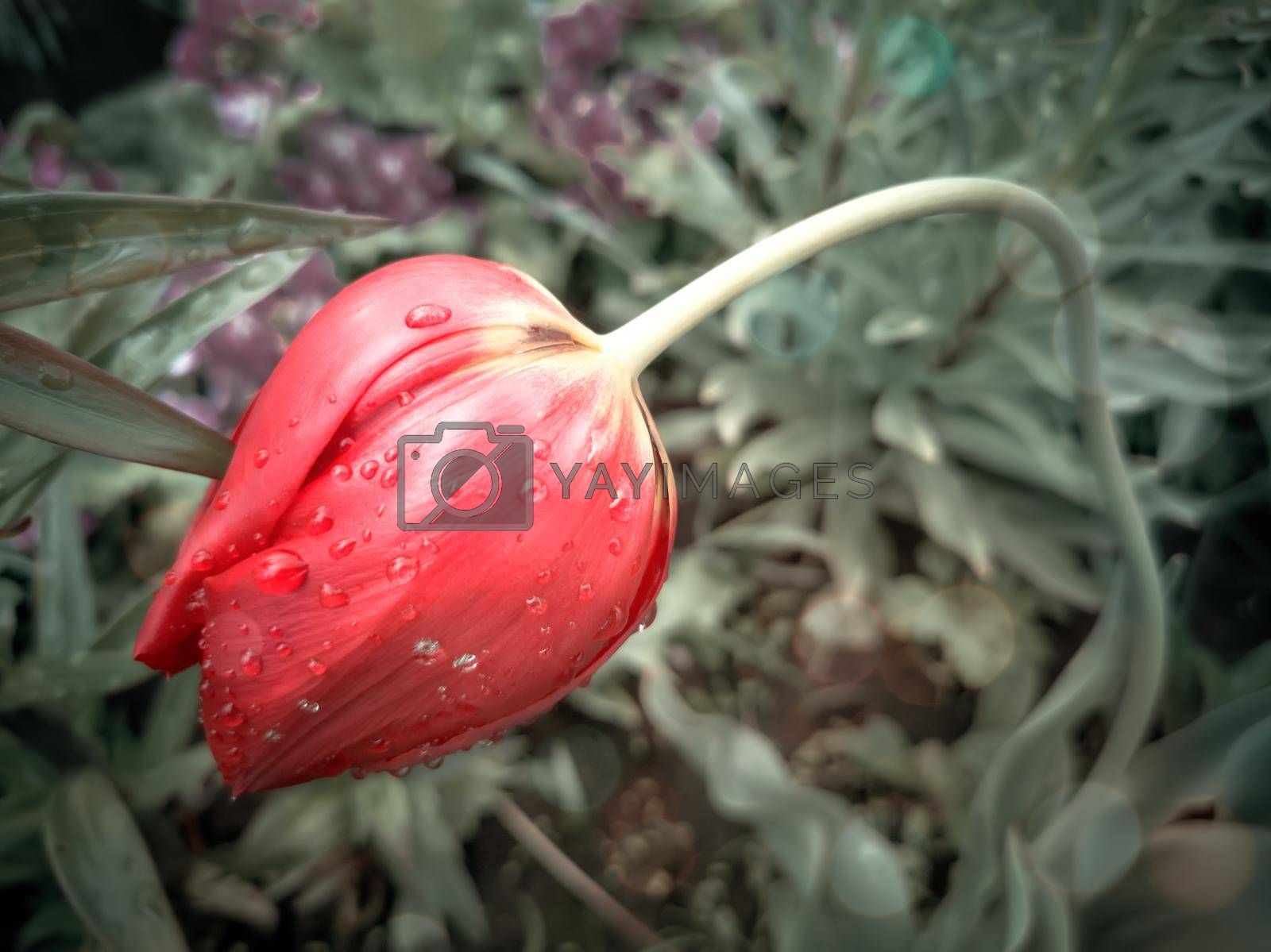 Beautiful red Tulip among green leaves in a flower bed in the garden. Presented in close-up.