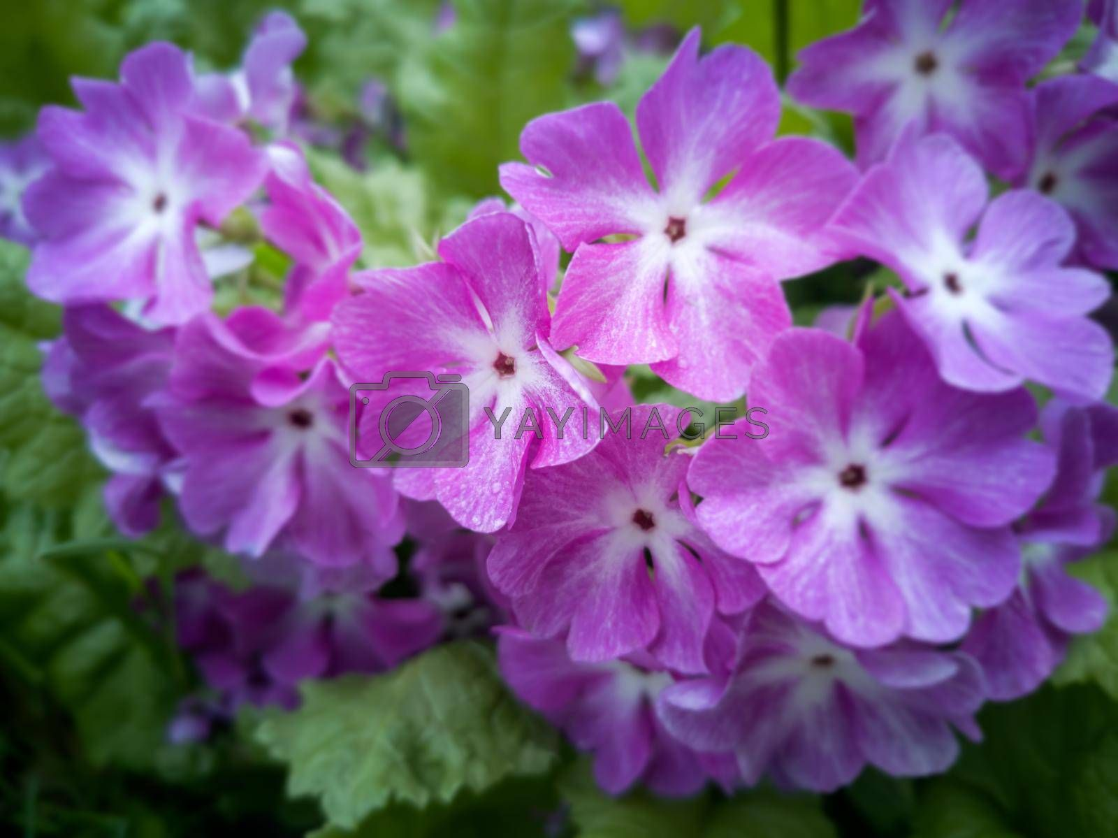 The pink flowers of a primrose shined with the sun, are photographed by a close up