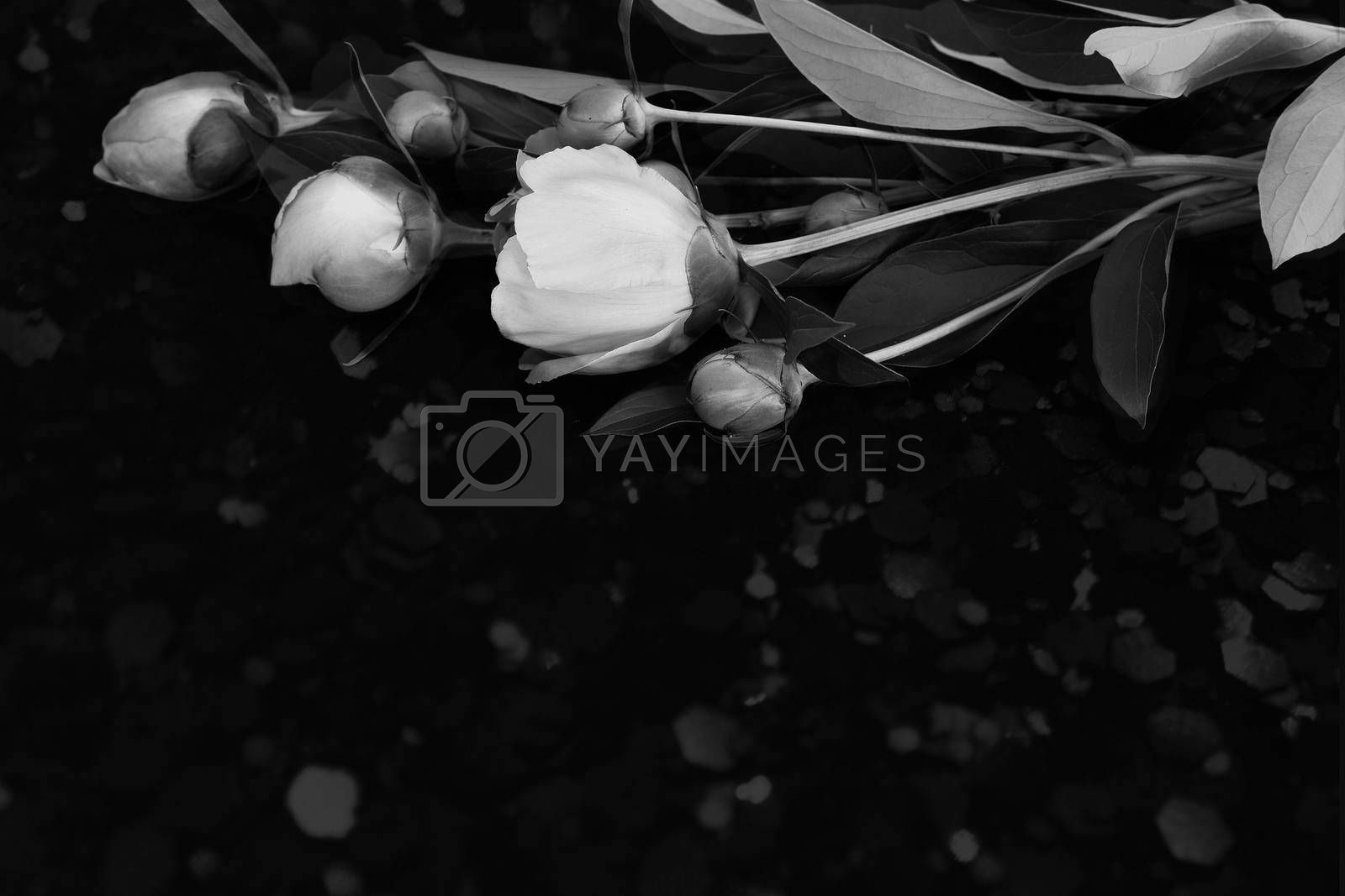 Beautiful pink flowers and buds of peonies surrounded by green leaves on a black background. Black and white image.