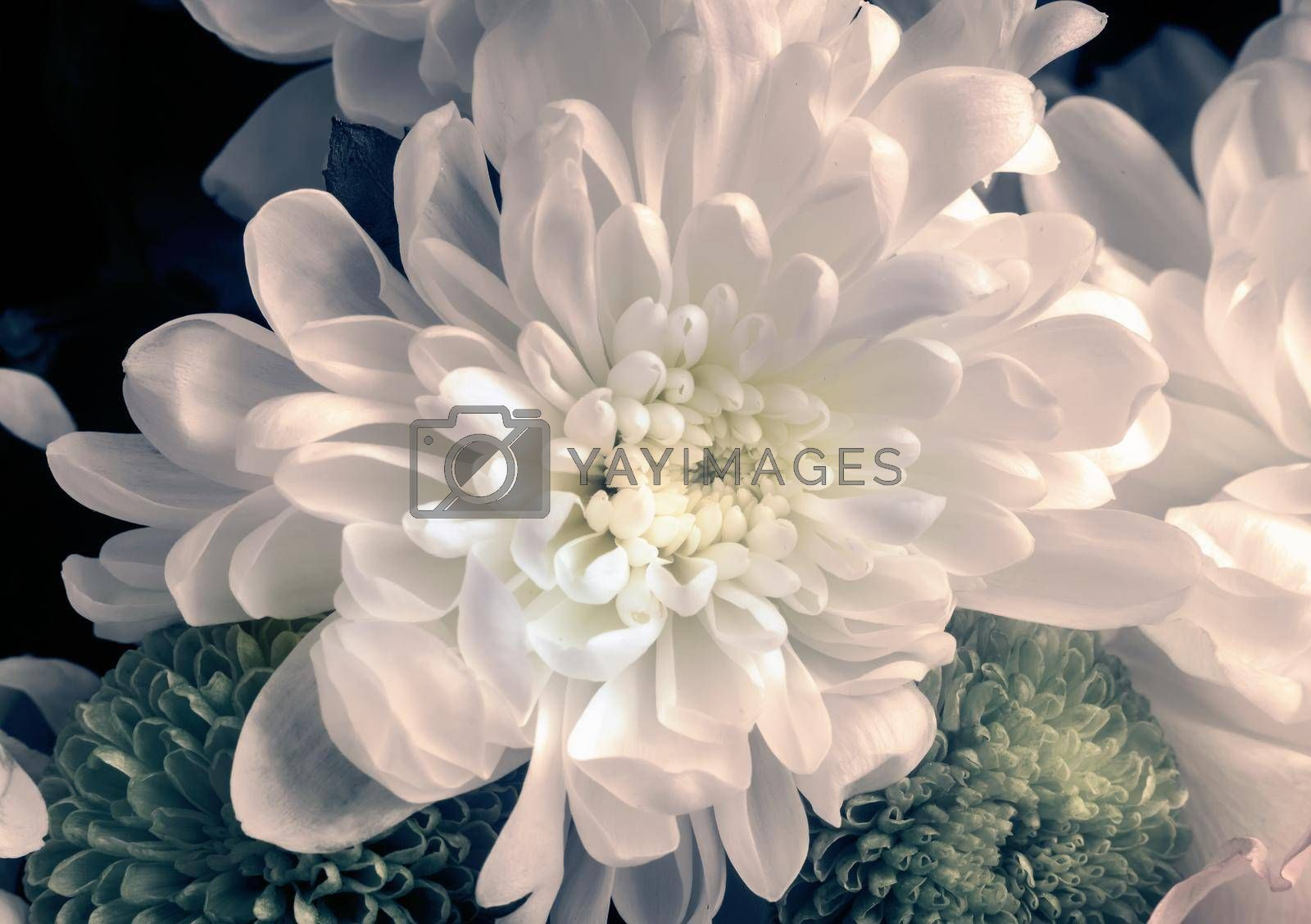 Beautiful white chrysanthemum in a bouquet among other flowers. Presented close-up.