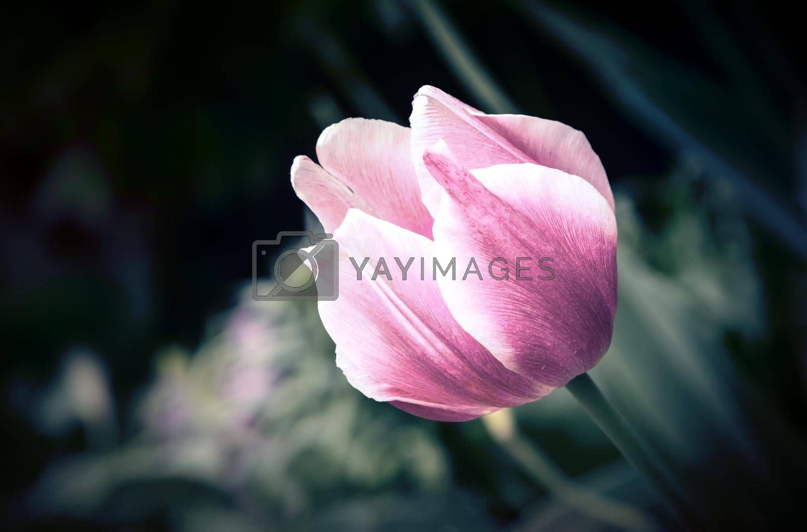 Beautiful pink Tulip with green leaves on the table surface. Presented close-up.