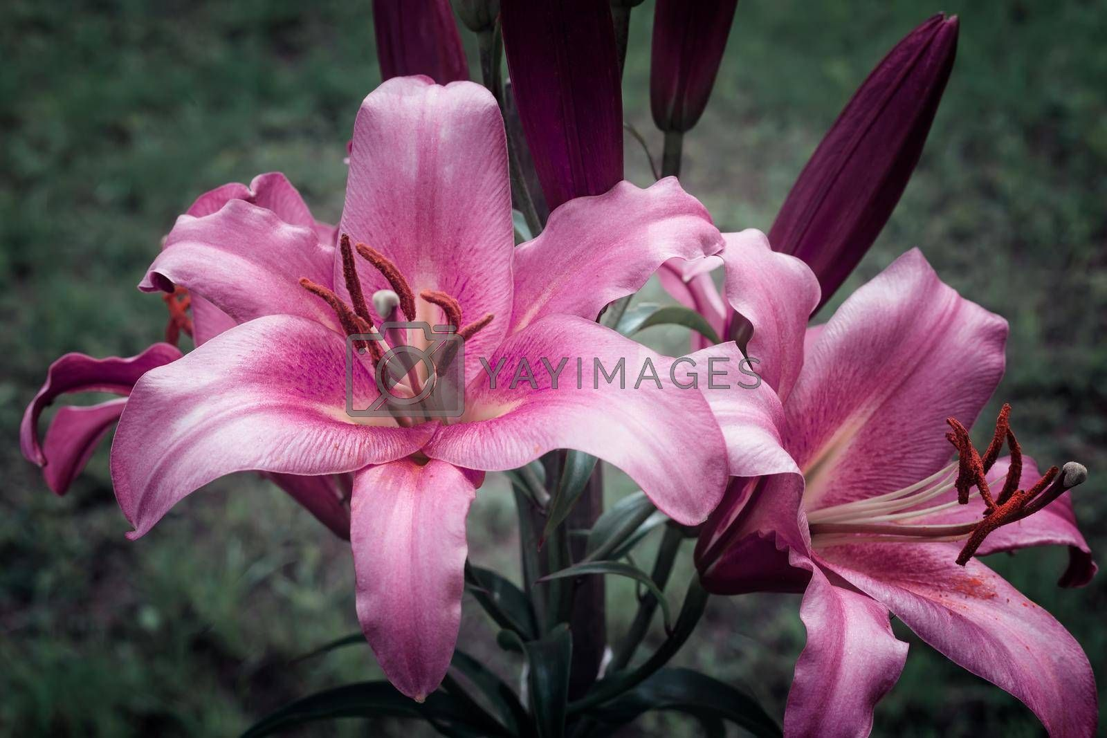 Two beautiful purple Lily flower on green leaf background. Presented close-up.