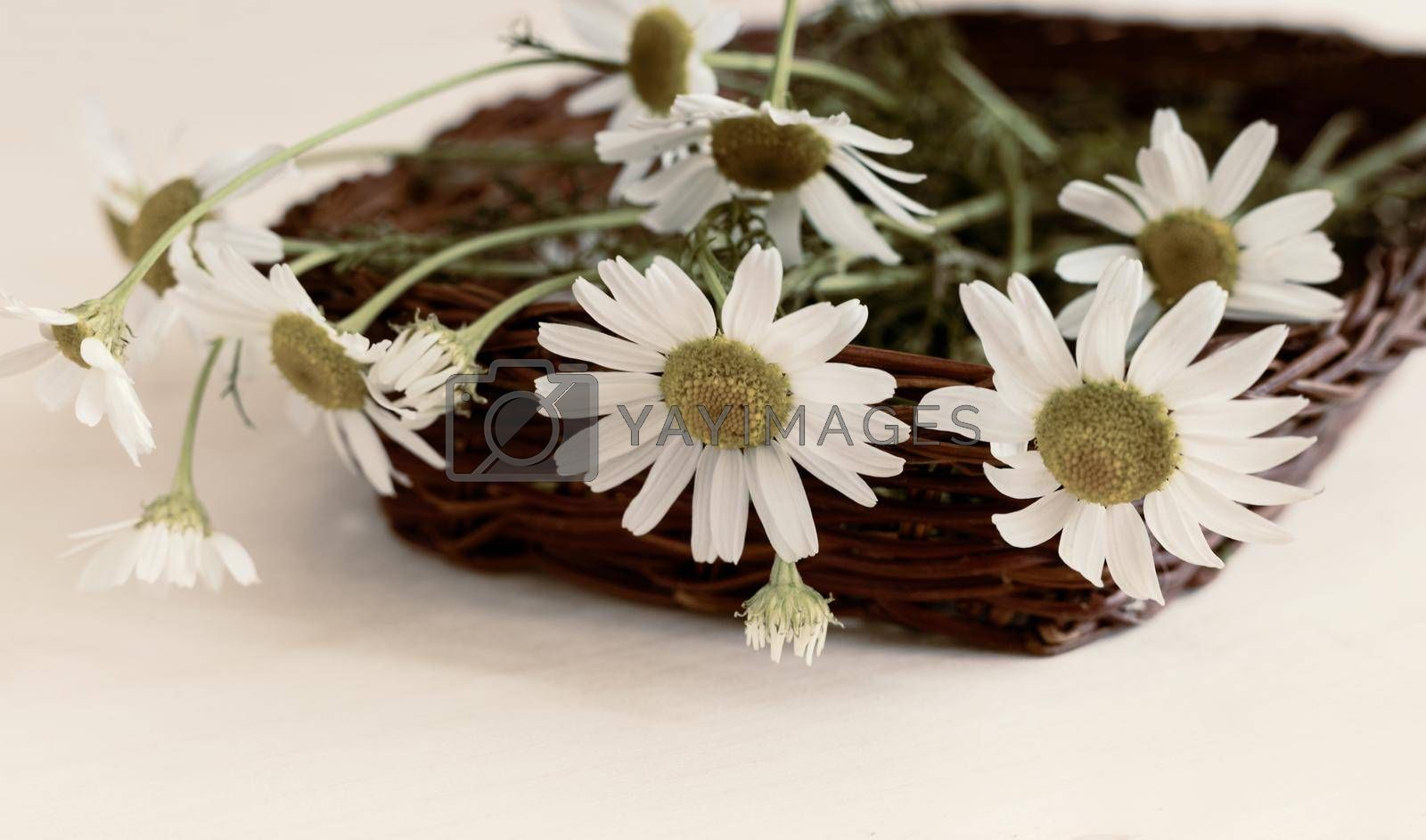 Flowers and leaves of white medicinal chamomile are used for herbal medicine in folk and official medicine.