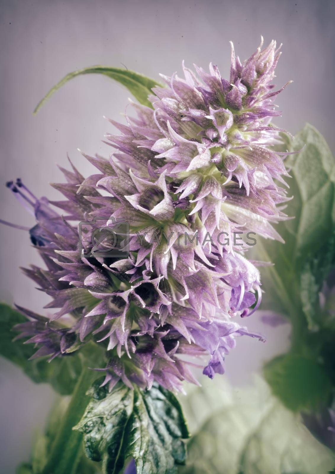 Valuable medicinal plant-aniseed Lofant Lophanthus anisatus . Plant stems with lilac inflorescences and leaves . Presented close-up.