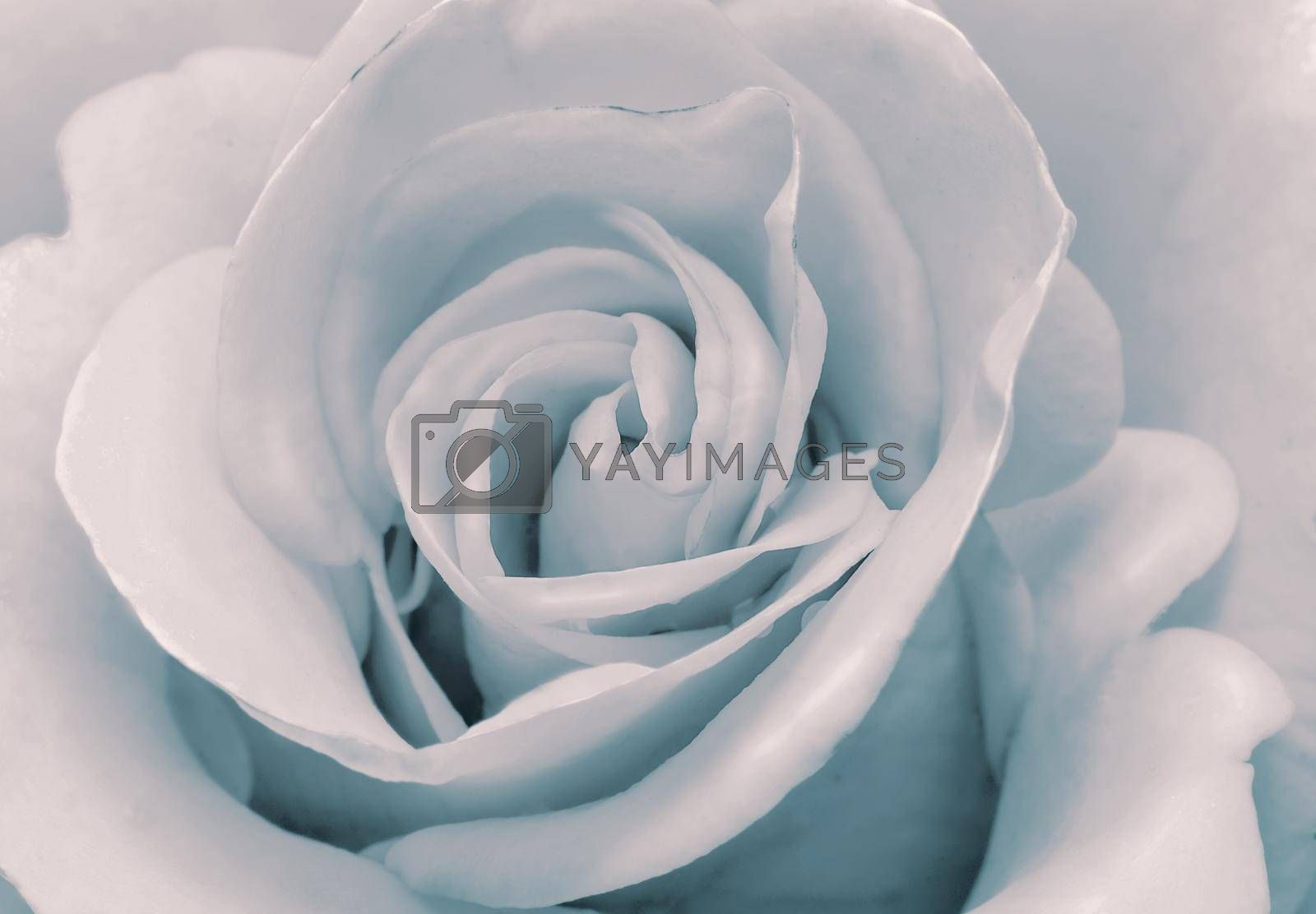 Closeup presents the core of the flower and the petals of beautiful roses delicate pale pink color