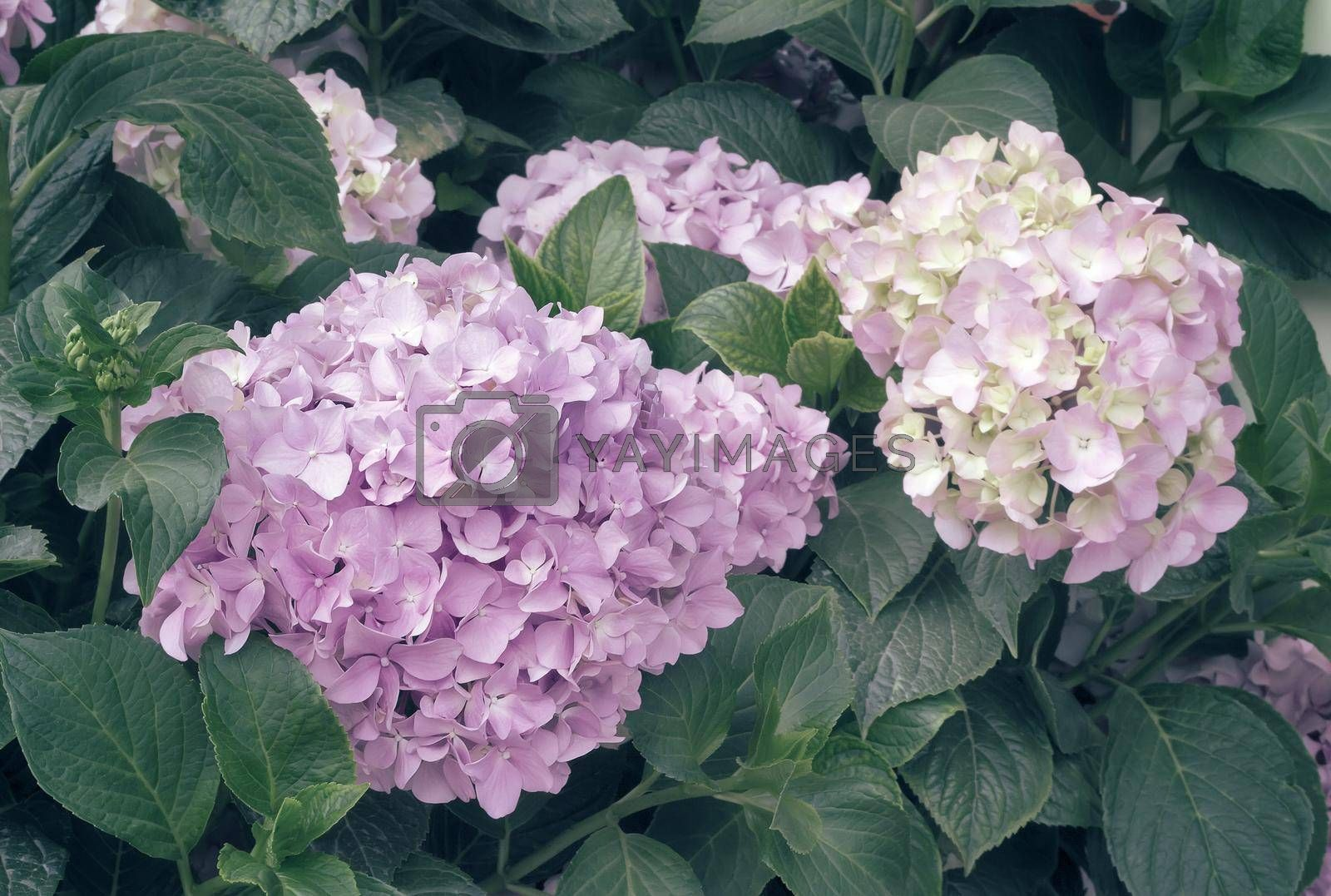 Large inflorescences of hydrangeas blooming in the garden and green leaves.
