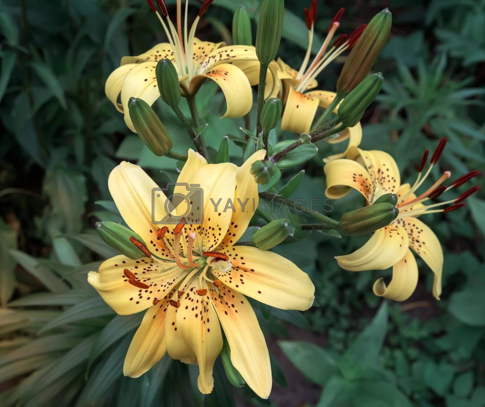 Beautiful yellow Lily flowers on green leaves background in garden. Presented close-up.