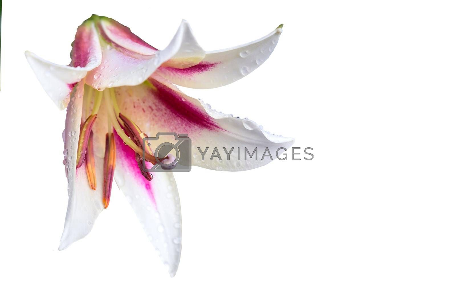 Beautiful Lily flower on green leaves background with water drops after rain. Presented in close-up.