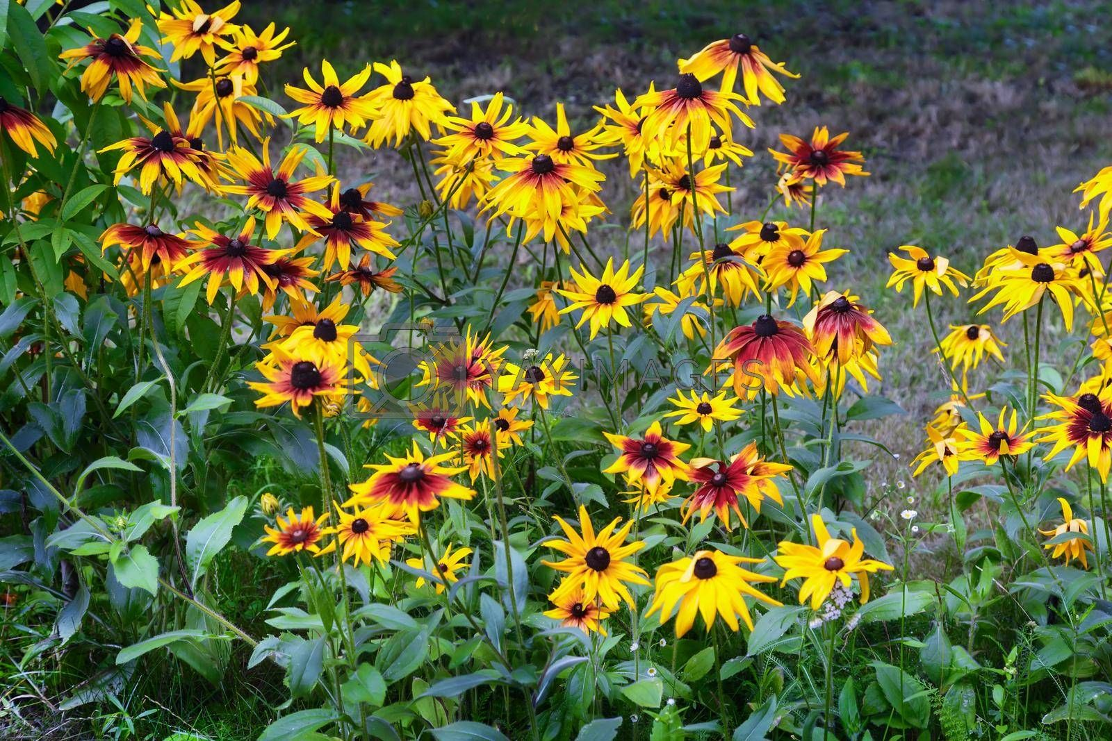 Beautiful large yellow with red flowers rudbeckia in the garden on a background of green leaves.