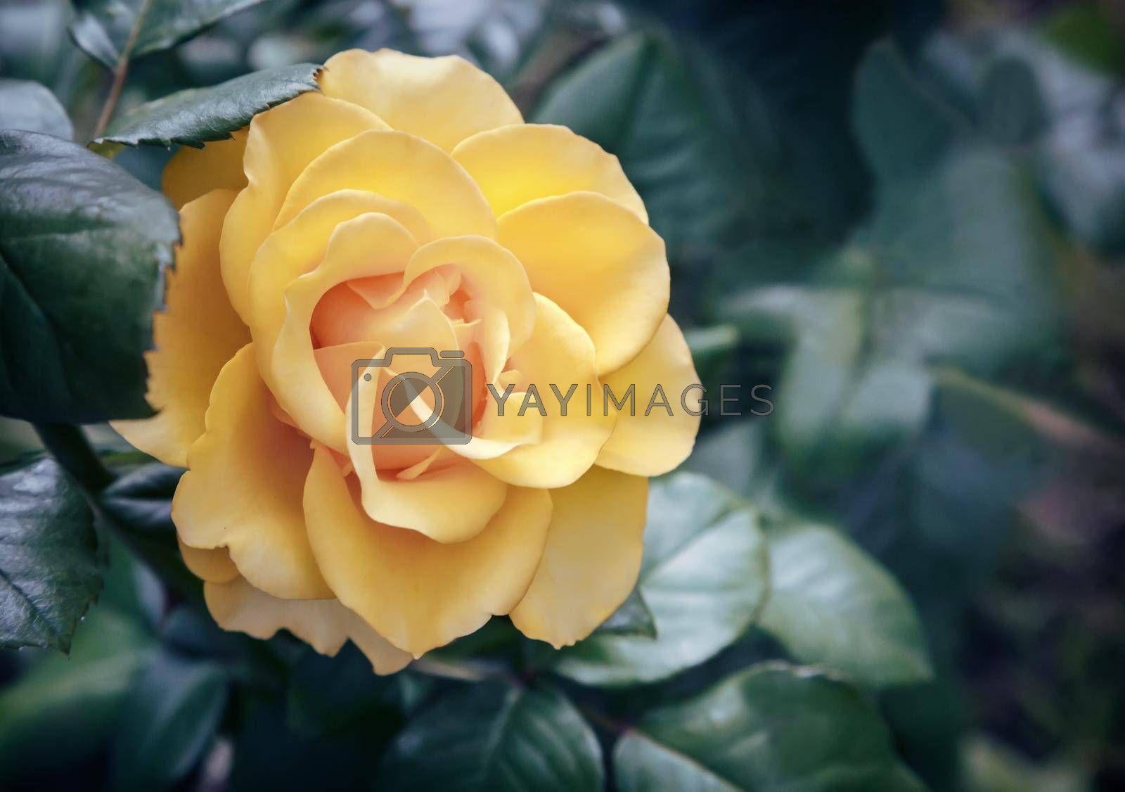 Beautiful yellow flower of hybrid tea rose blooming in the garden . Photographed close-up .