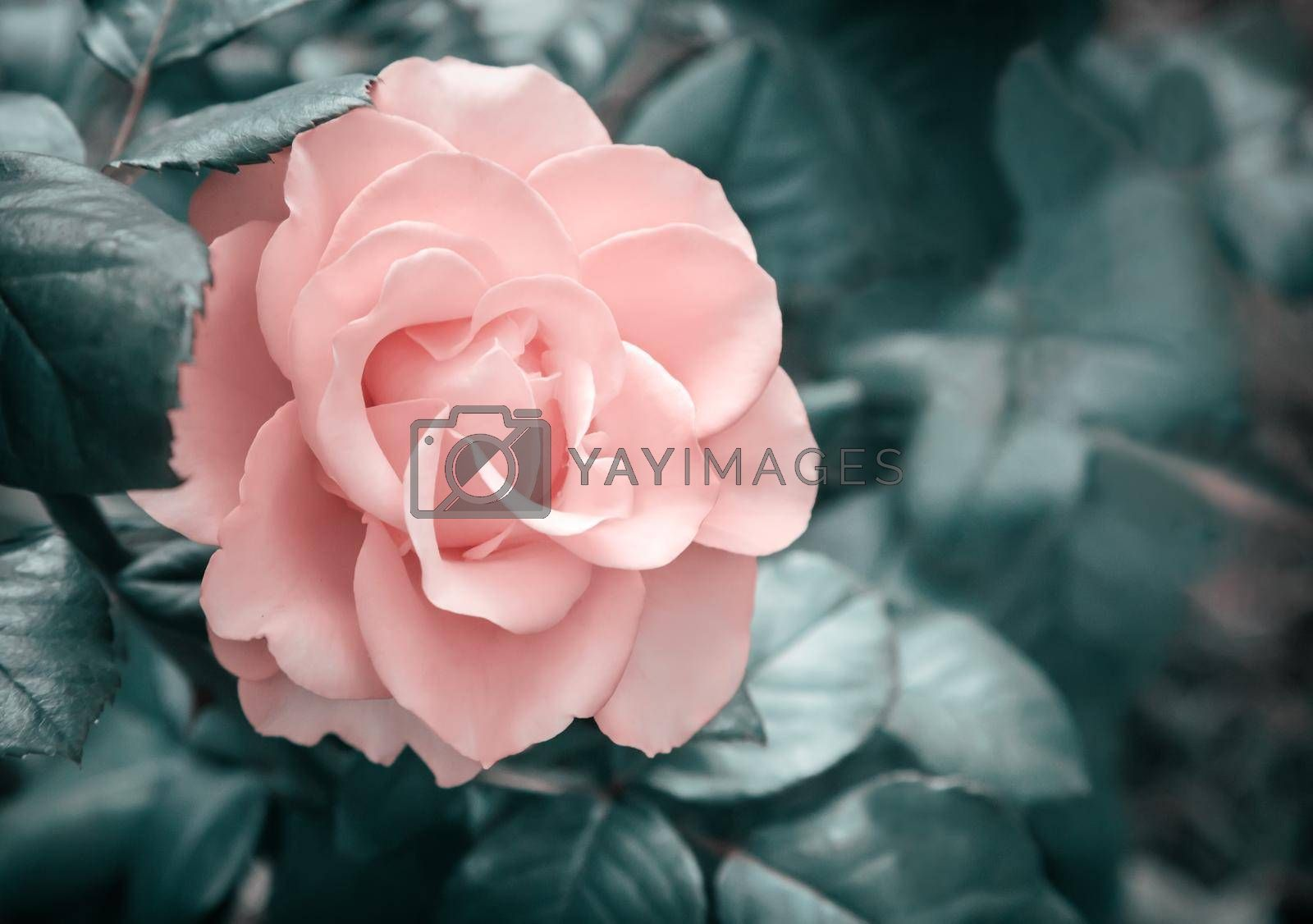 Beautiful pink flower tea-hybrid rose , blooming in the garden . Photographed close-up .