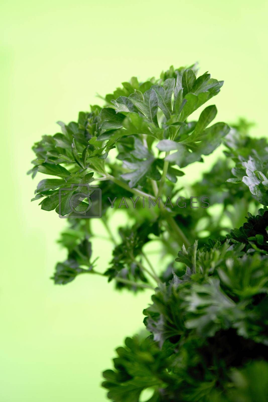 Close-up of parsley - studio shot