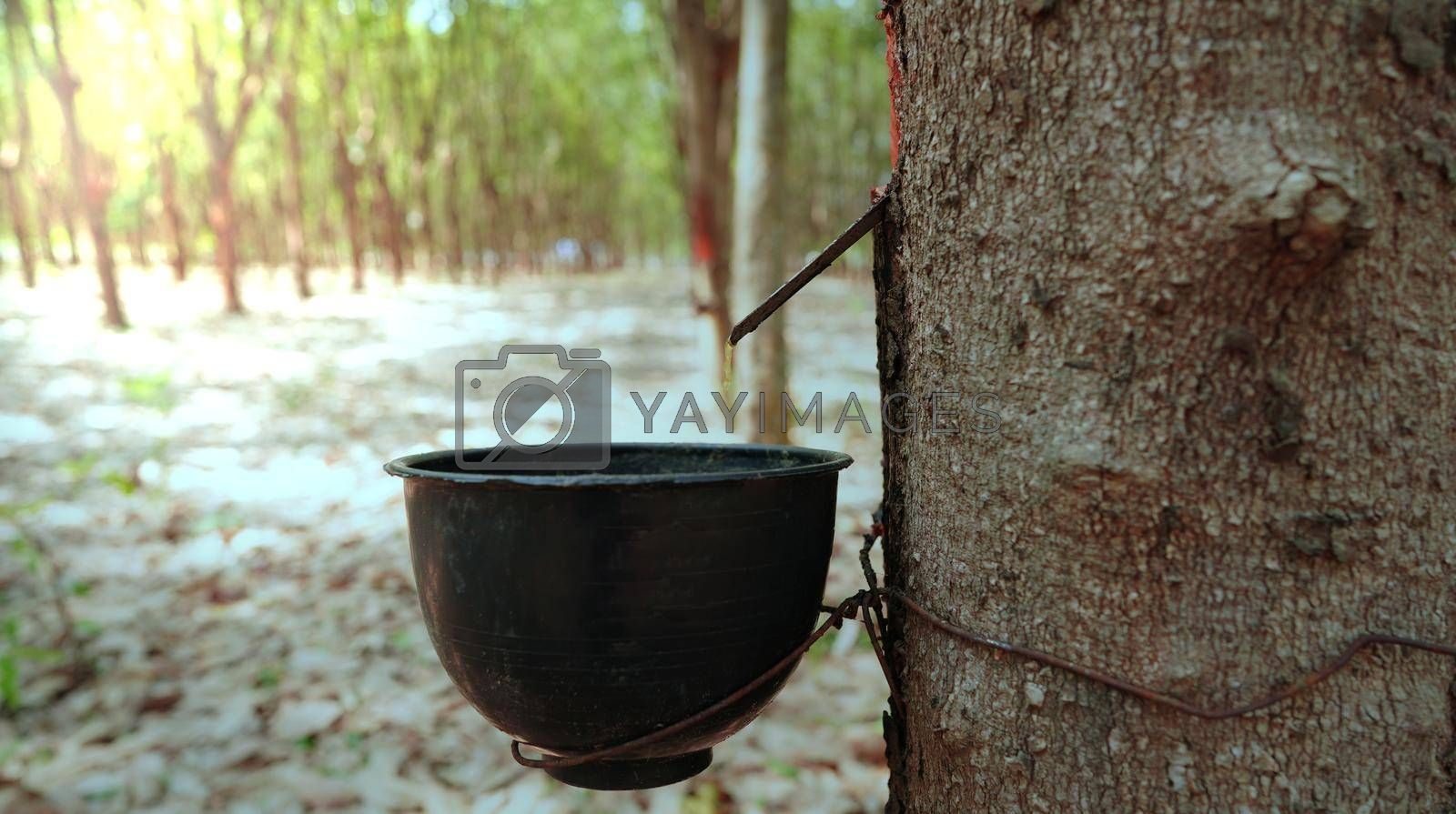 Harvesting in rubber plantations in the Northeast of Thailand.