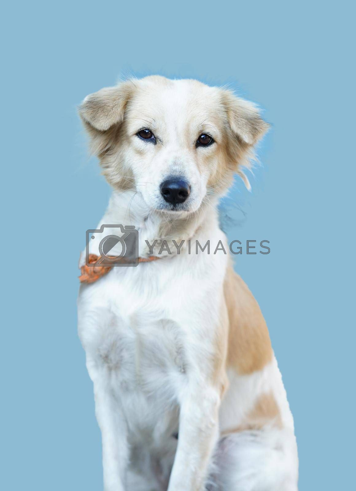 A portrait of a white dog looking at the camera isolated on a blue background.