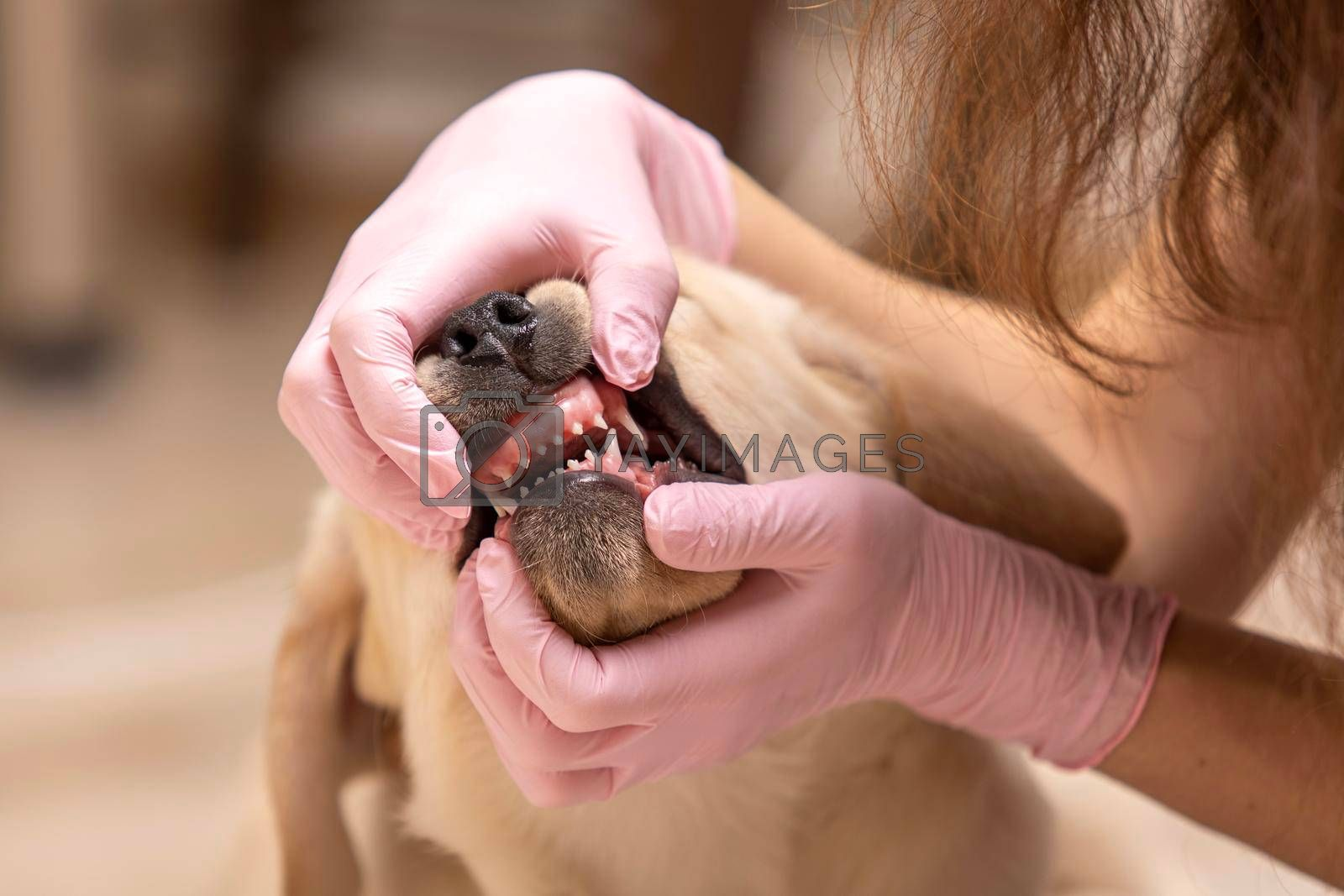 Veterinarian examining teeth of a cute dog on blur backboard.