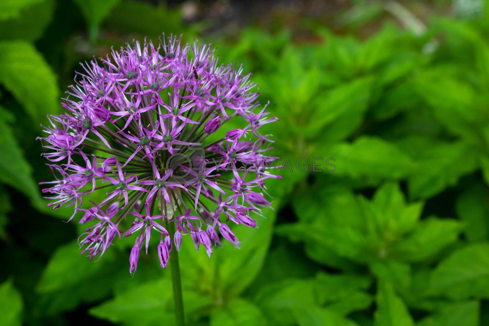 Allium sort Mercurius: decorative onion blooms in the flower garden in early summer.