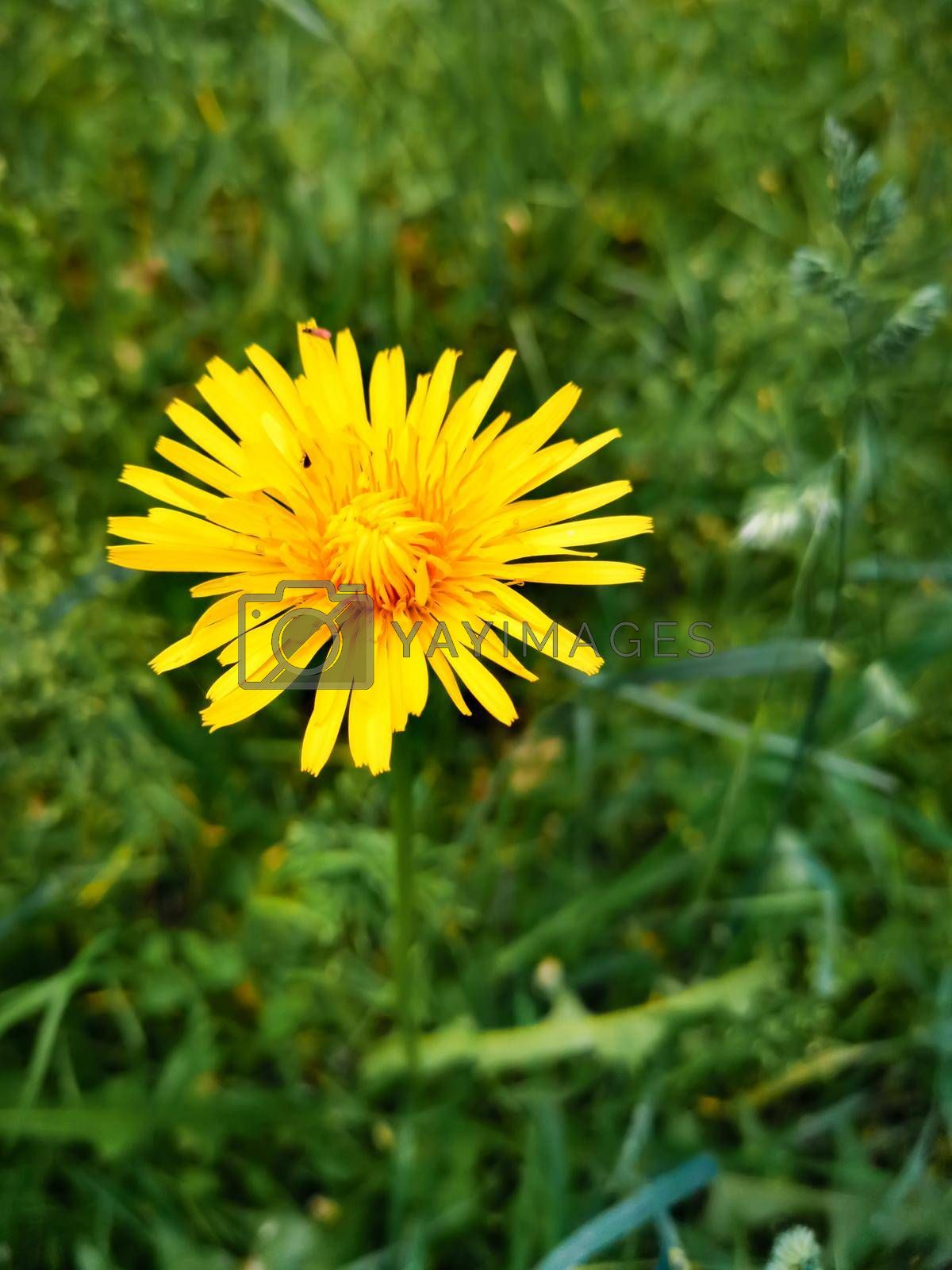 Closeup shot of a yellow dandelion on a blurred background