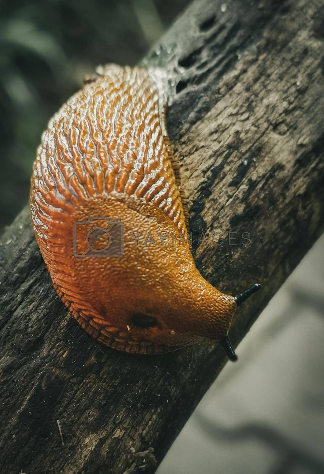 Closeup shot of a snail without a shell on a tree trunk