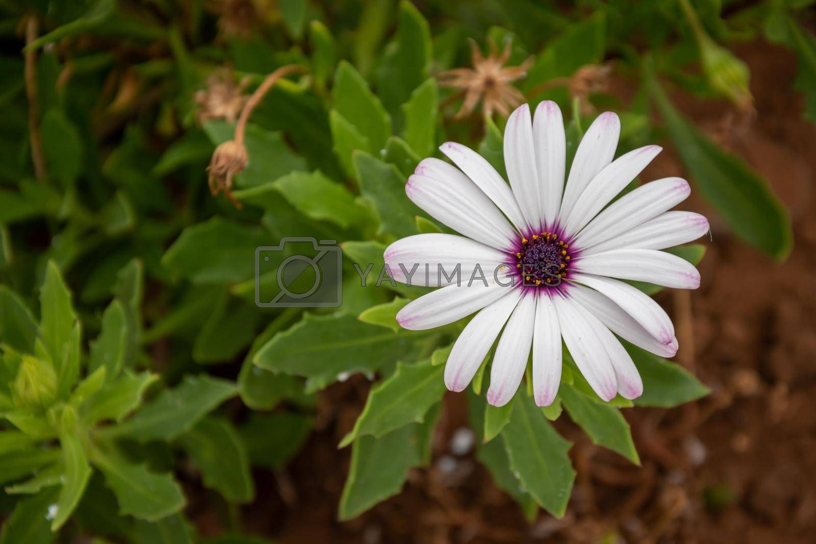 High angle shot of a daisy blooming in the greene