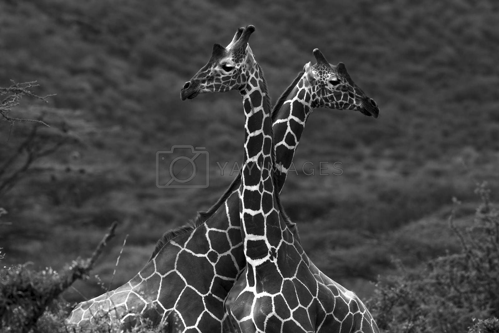 Portrait of Giraffes. Two Wild Animals with Long Necks  in the Wild. Black and White Photo. Safari. Gama Drive. Samburu National Reserve. Kenya. Africa.
