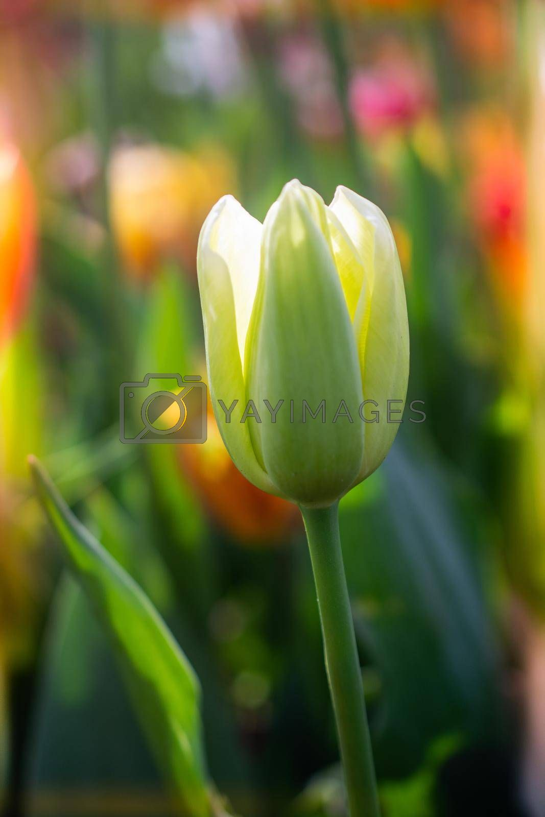 Beautiful colorful tulips flower in spring time garden