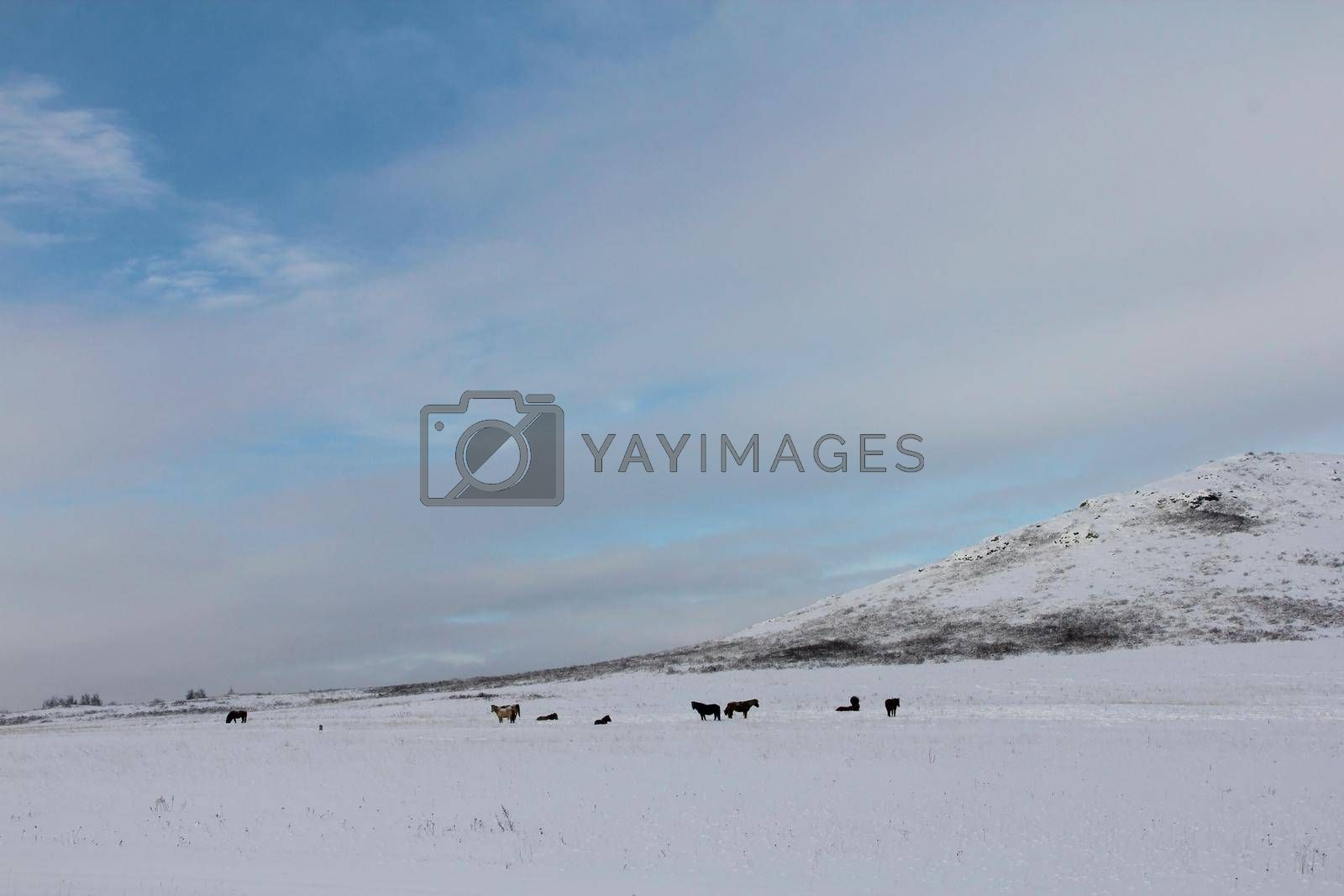 Horses herd graze in a snowy field valley on mountains background south Ural Russia