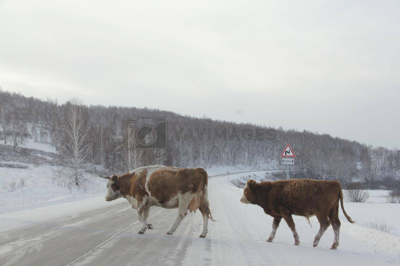 Cows cross winter road south Ural Russia