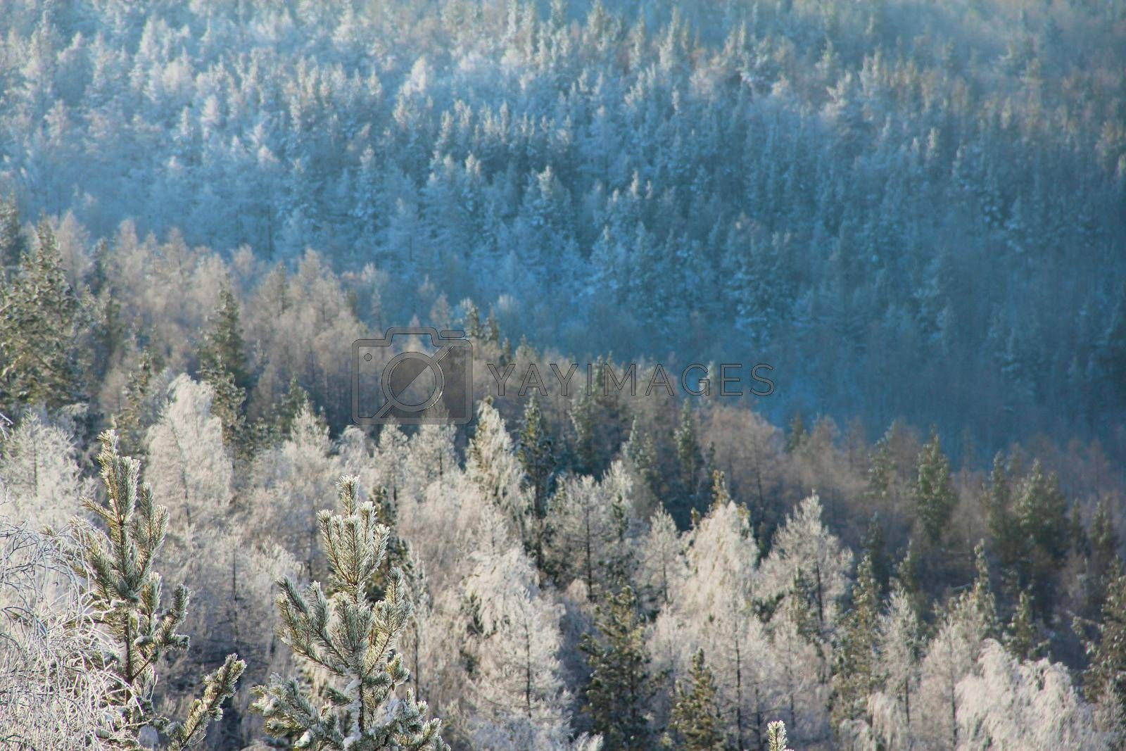 Sunny winter Coniferous Forest Landscape aerial view background Travel serene scenic view